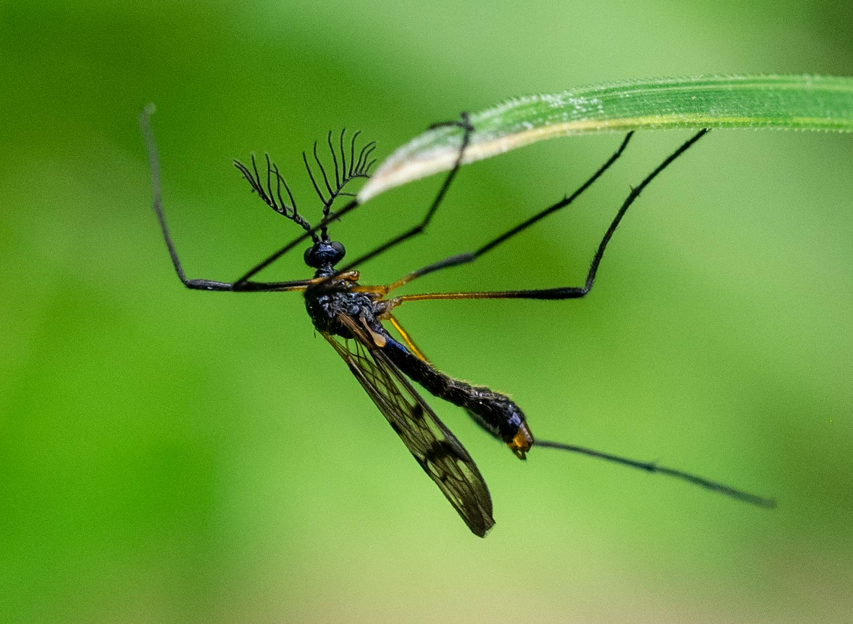 a small crane fly