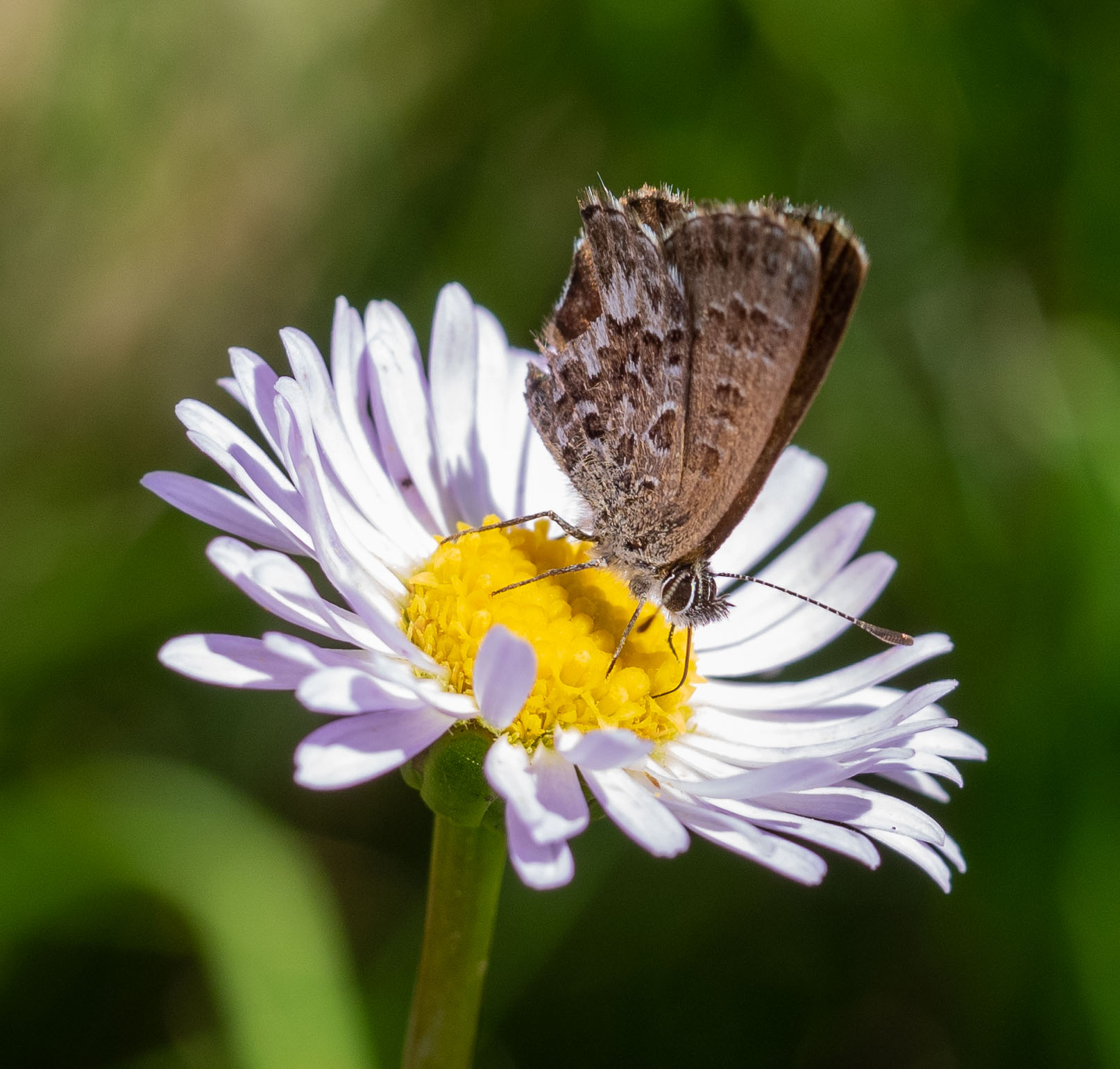 Fringed Heath Blue butterfly