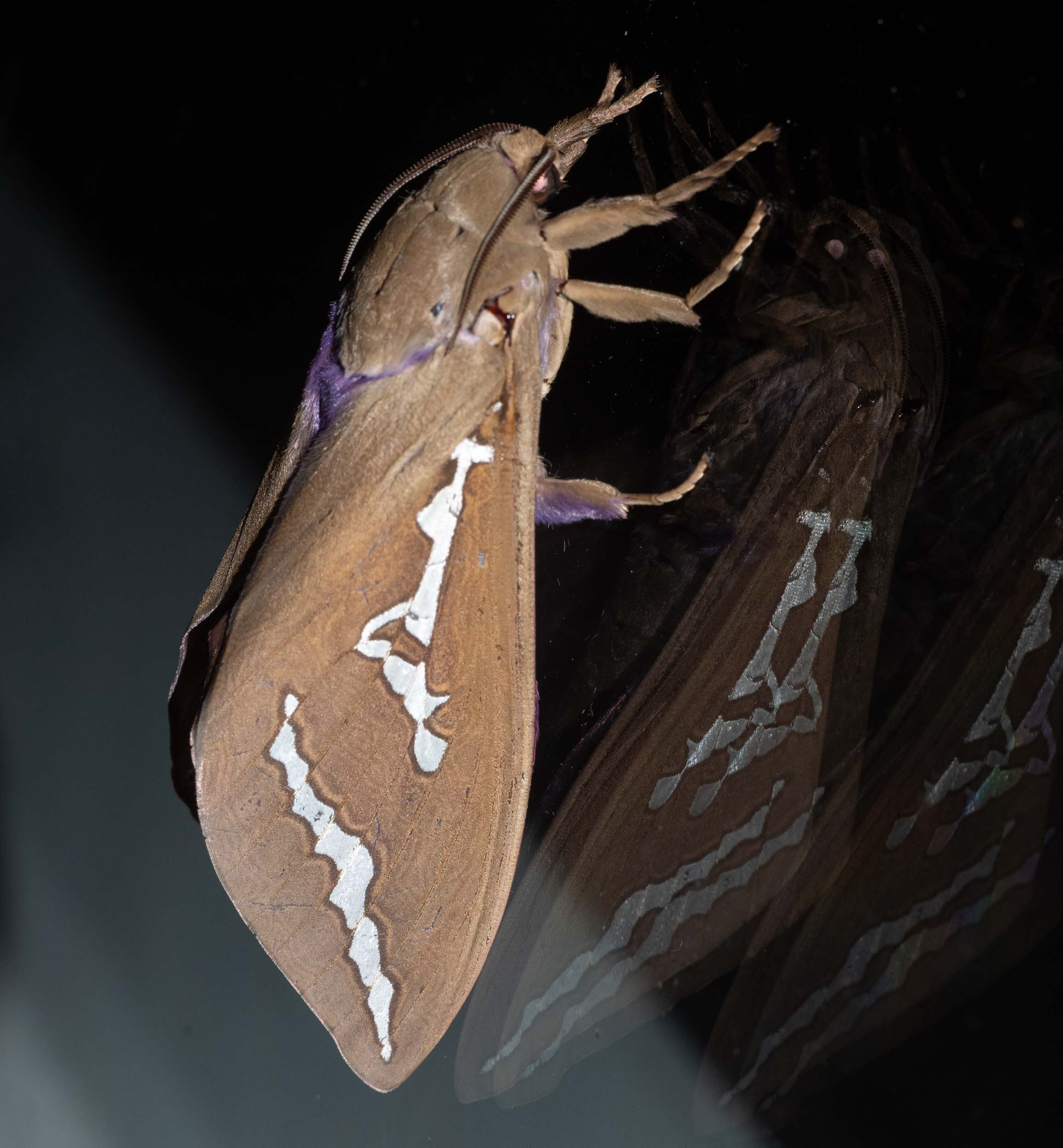 Mustard Ghost Moth - side view