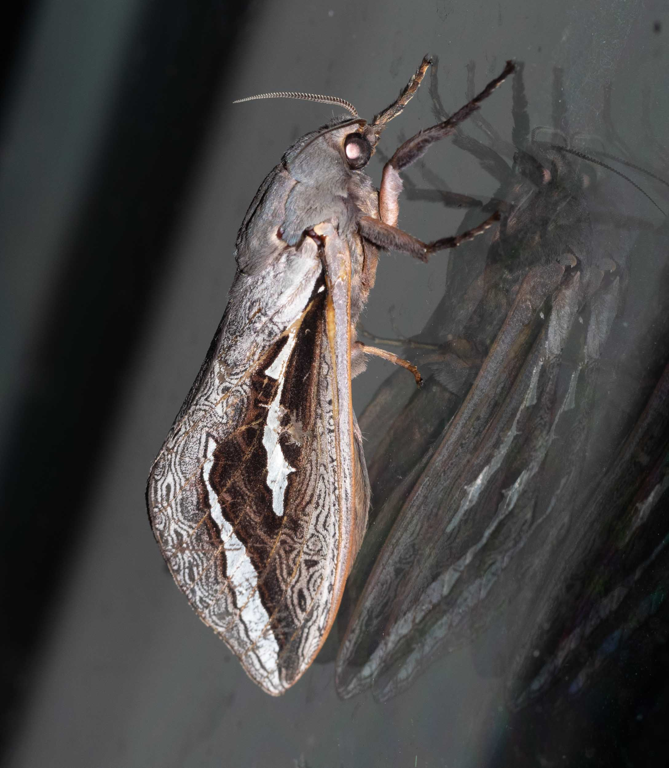 Labyrinthine Ghost Moth