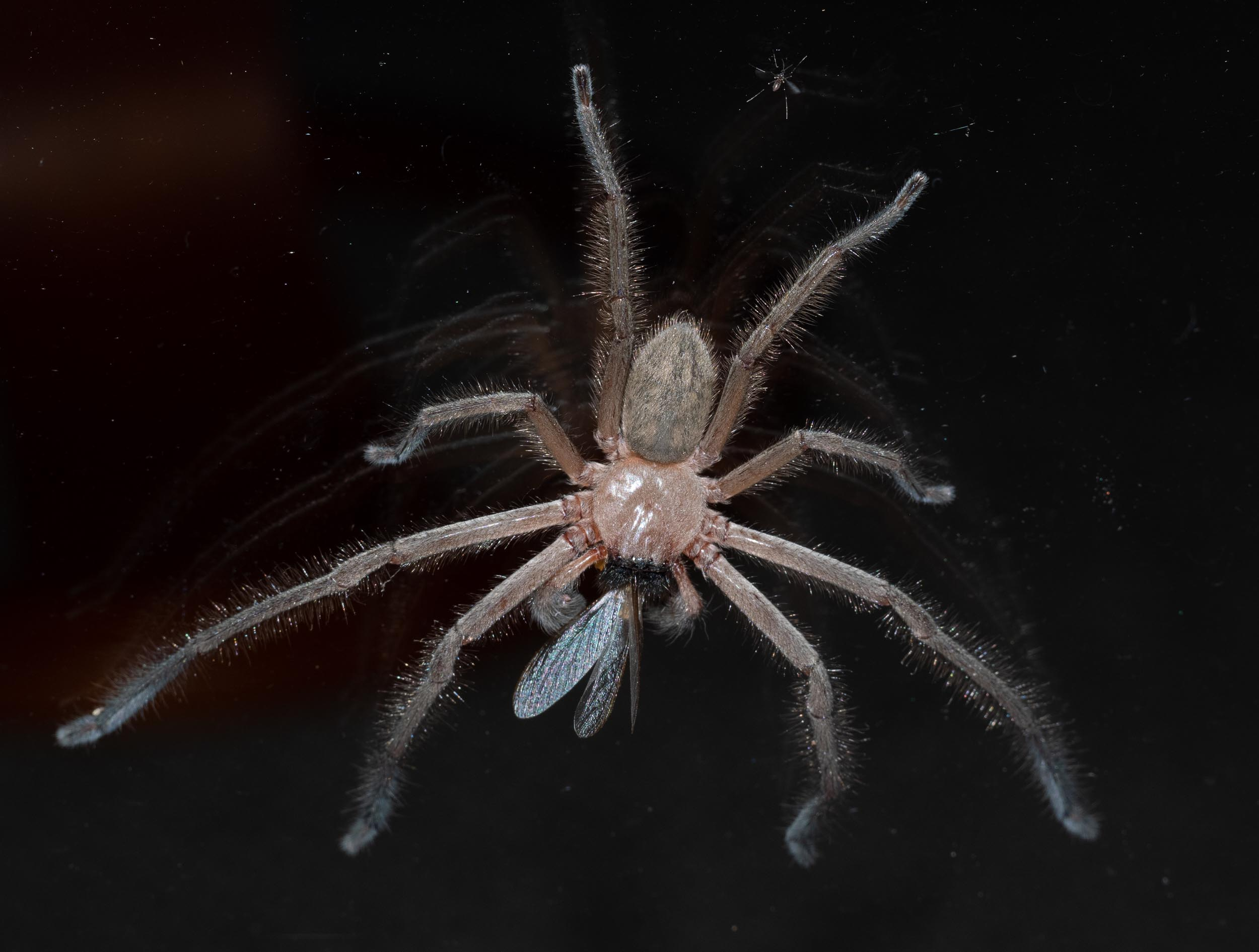 Social Huntsman spider