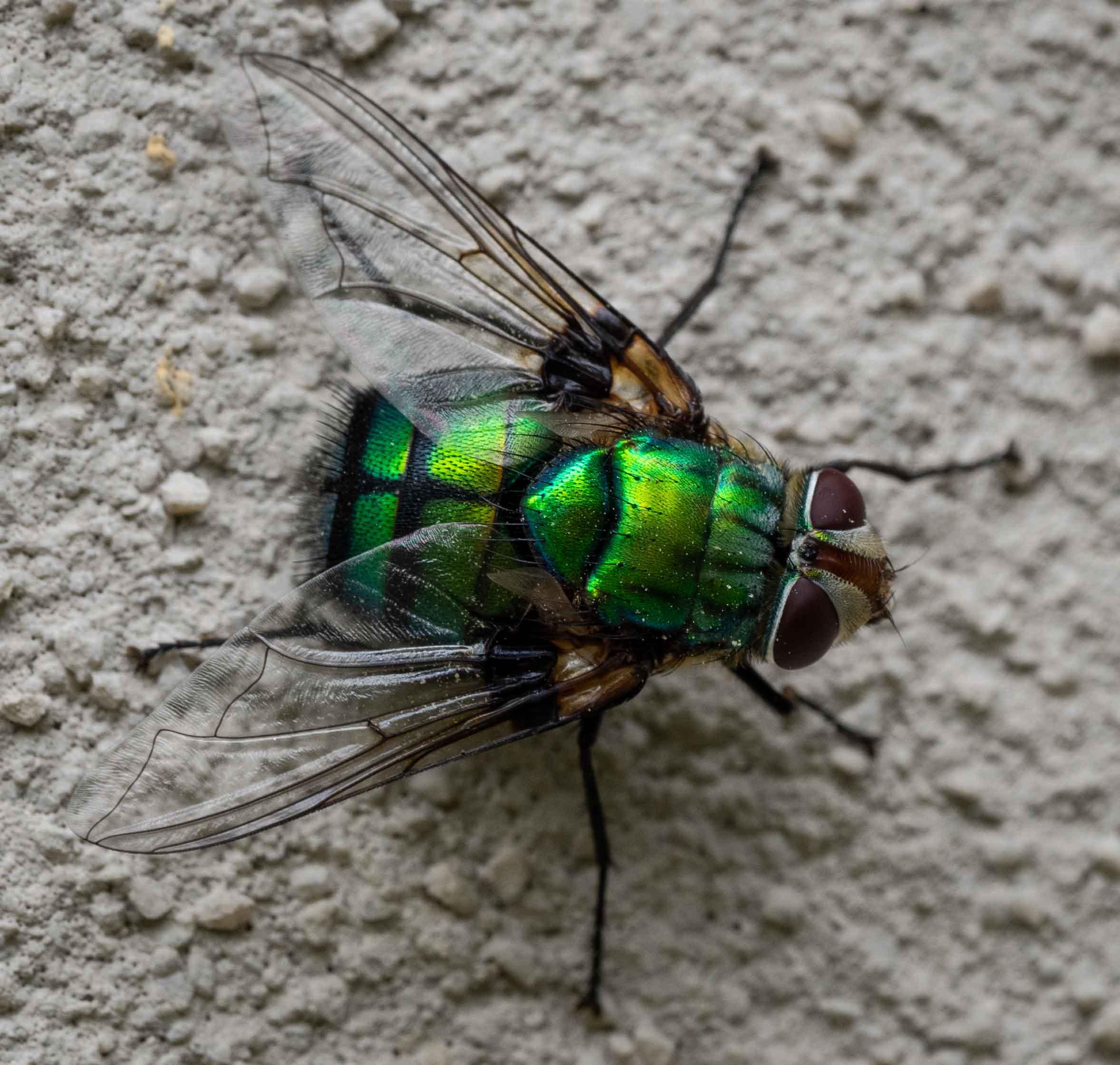 Green Rutilia fly