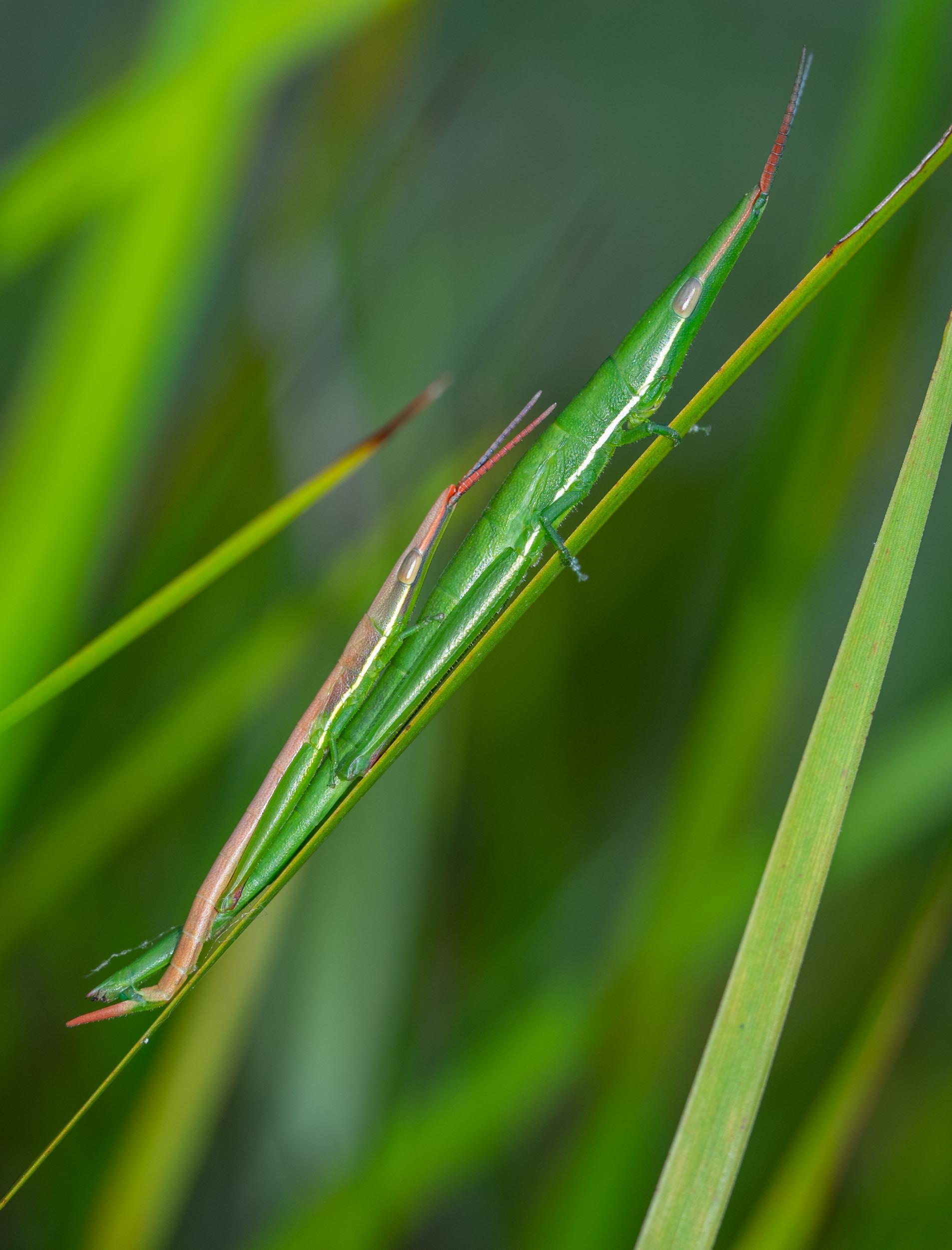 Psednura grasshoppers