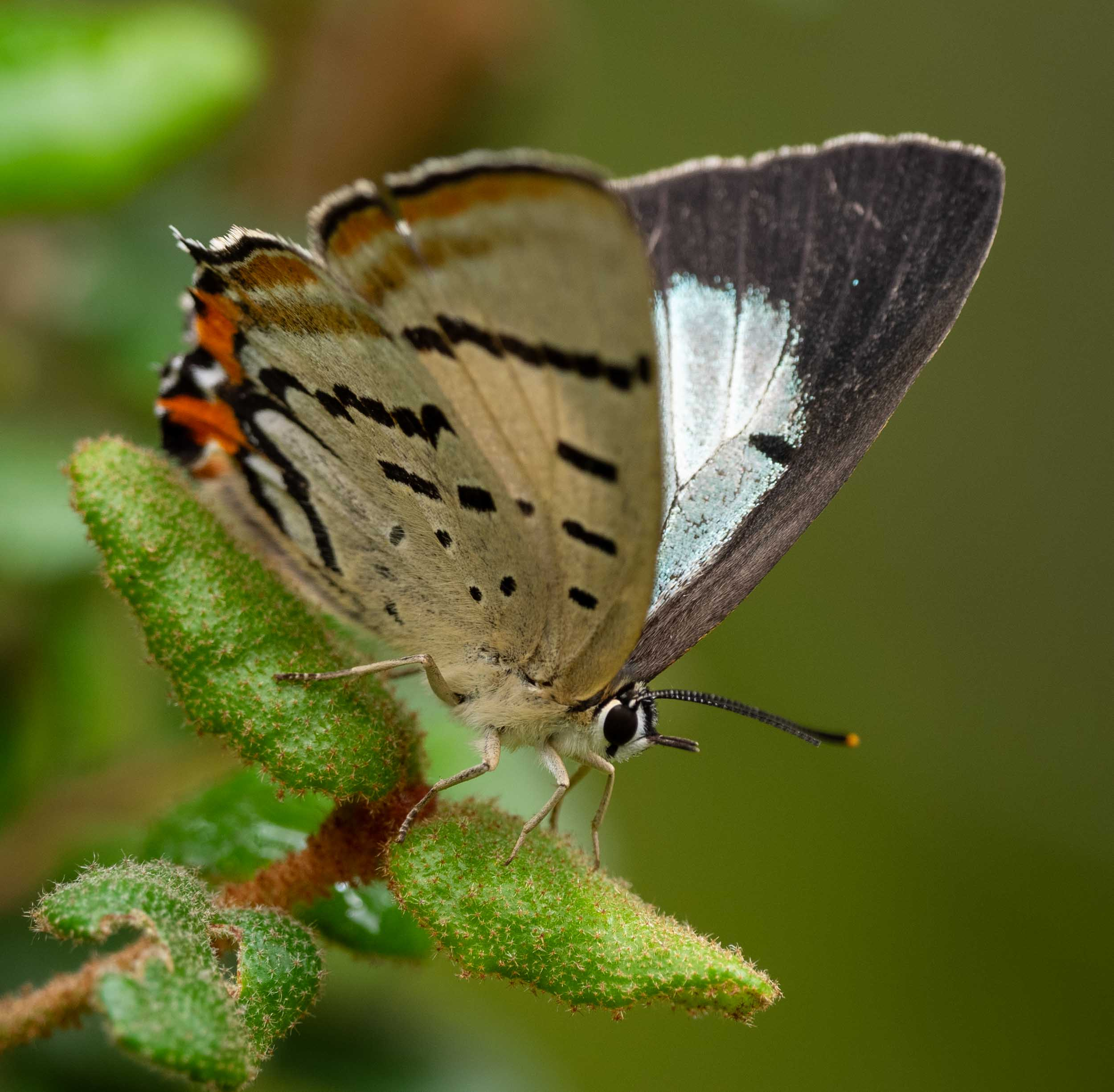 Common Imperial Blue