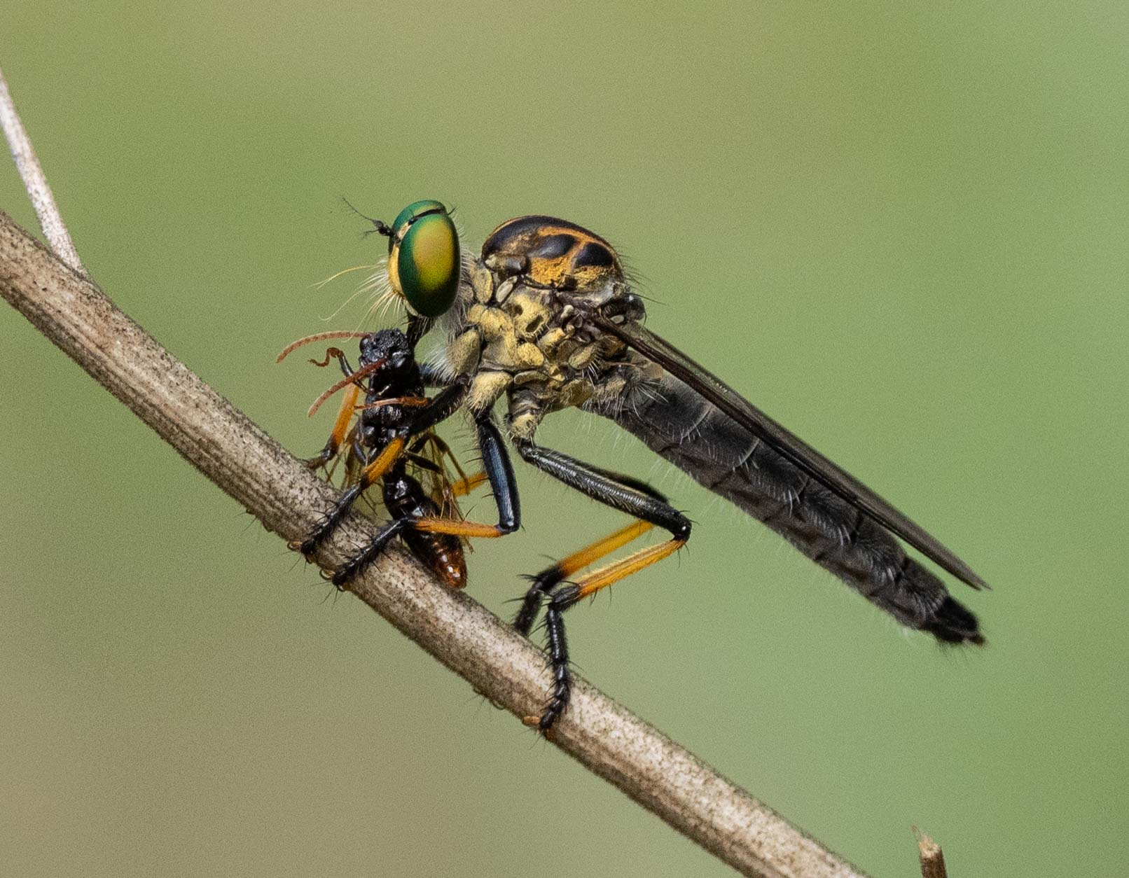 Common Yellow Robberfly