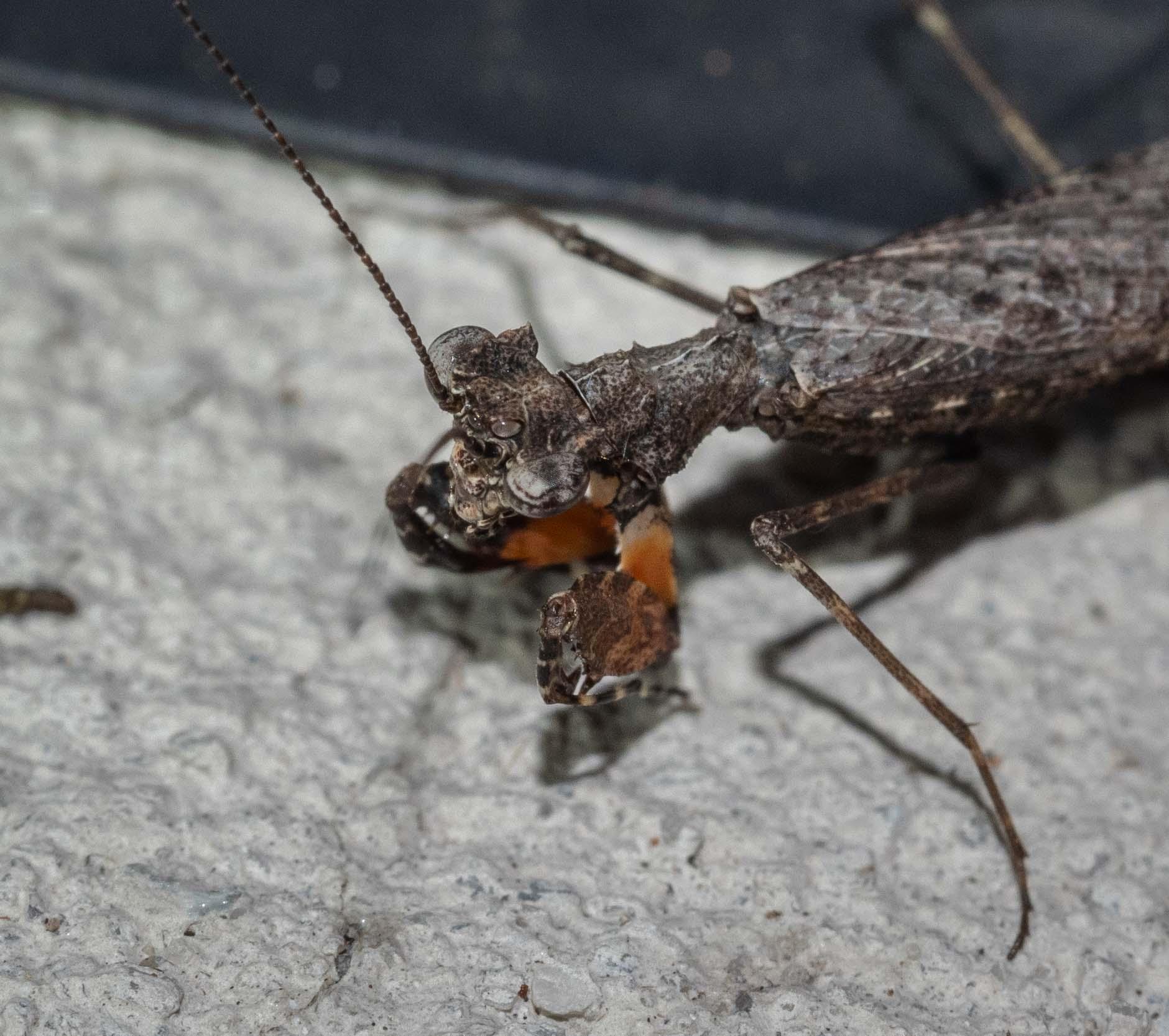 Black Bark Mantis
