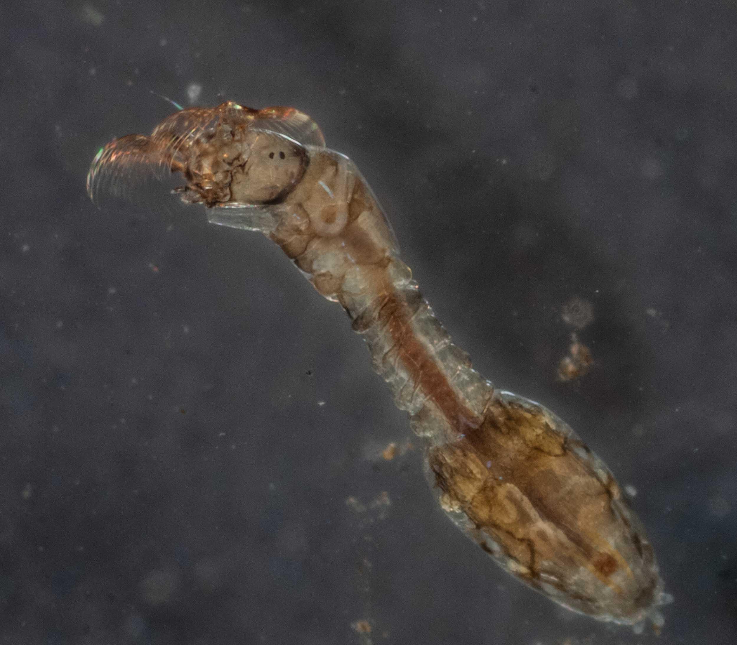 black fly larva (Insect; Diptera; Simuliidae)