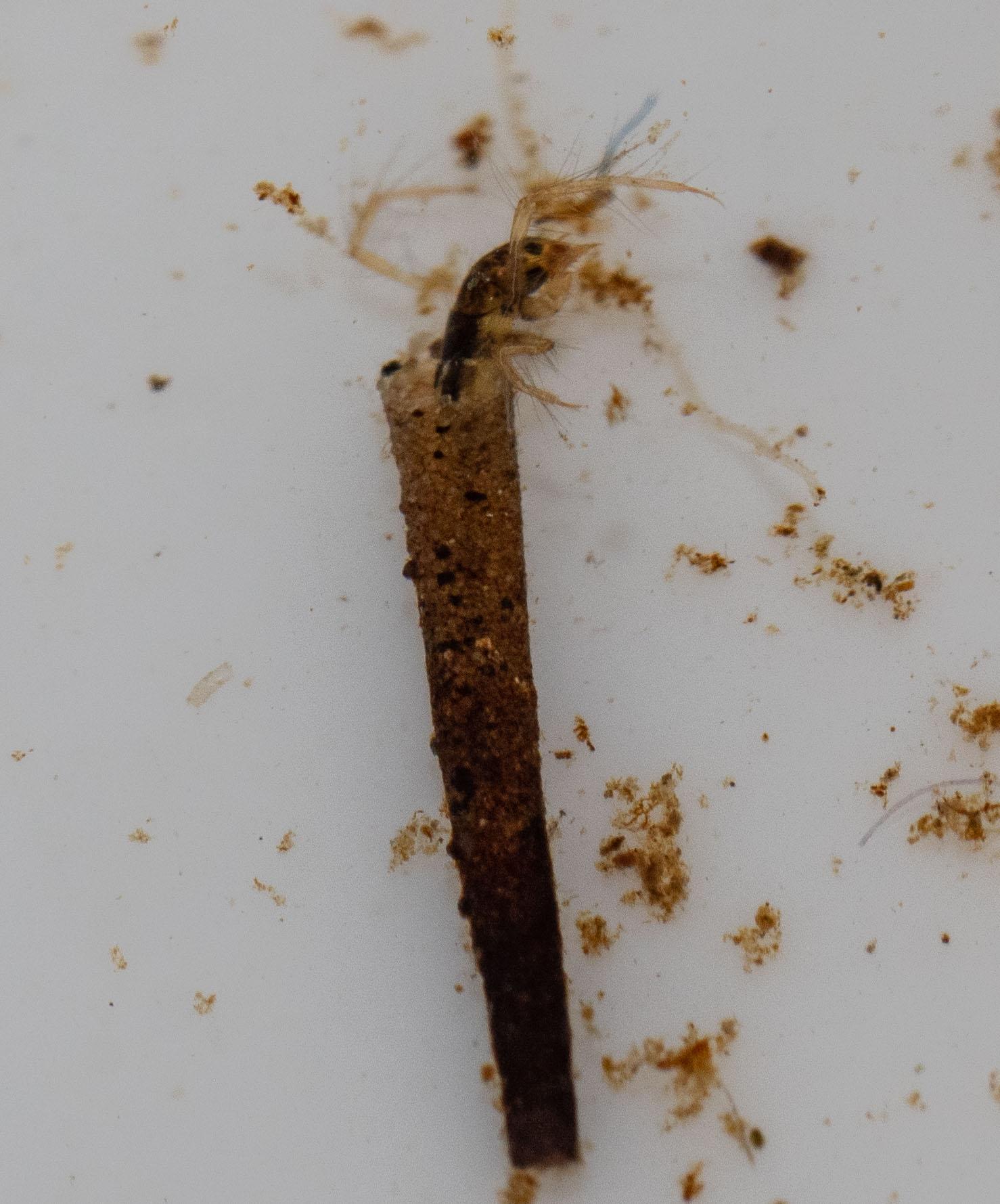 attack caddis (Insect: Trichoptera)