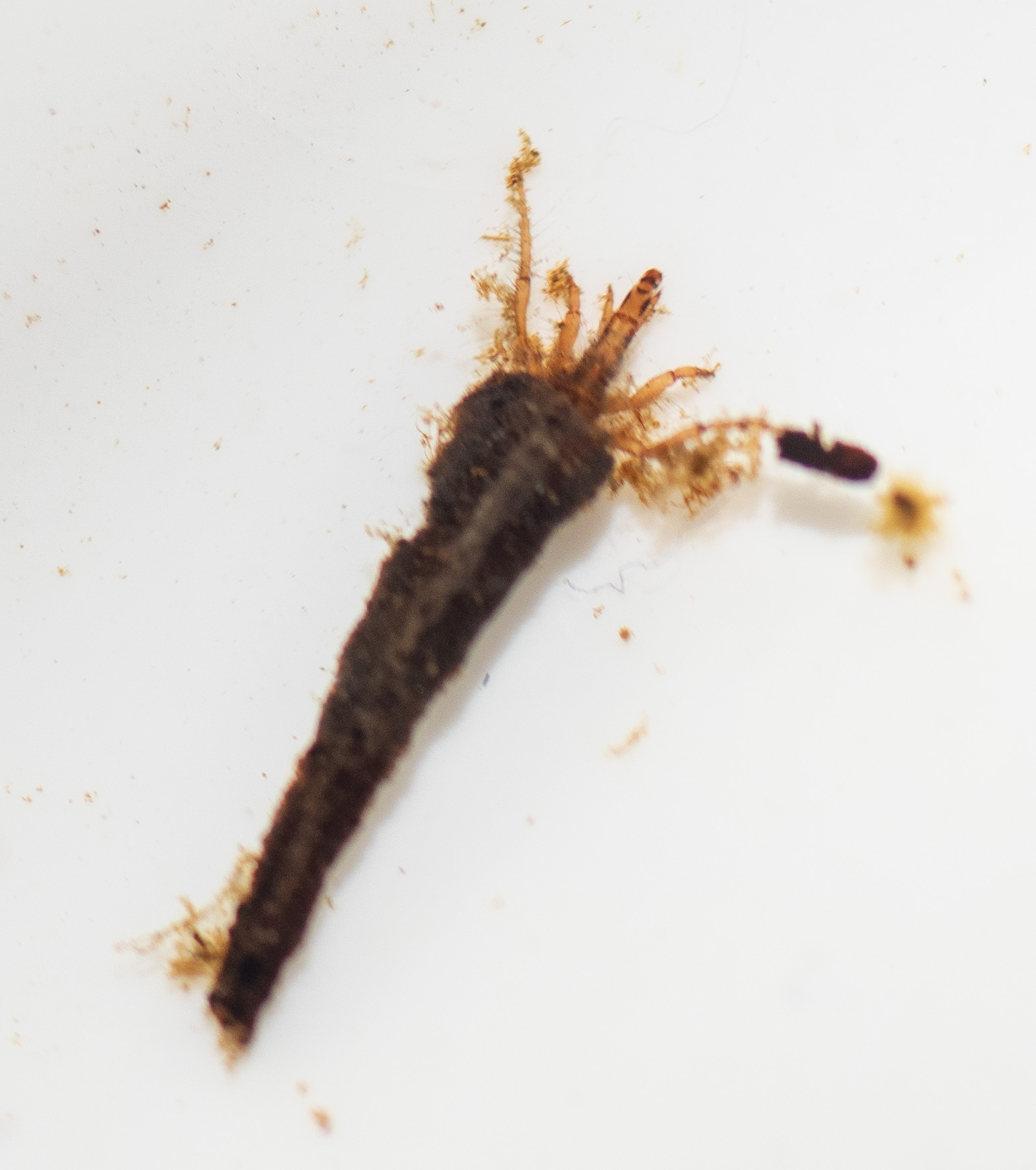 vulture caddis (Insect; Trichoptera; Atriplectididae)