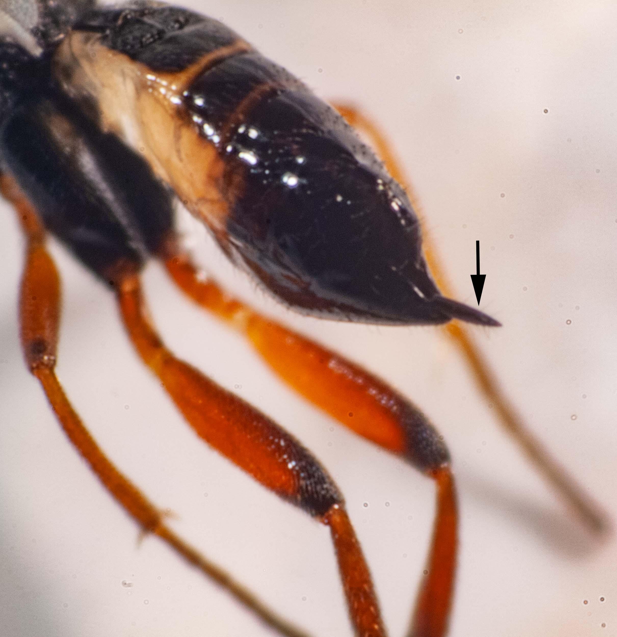 arrow shows the ovipositor