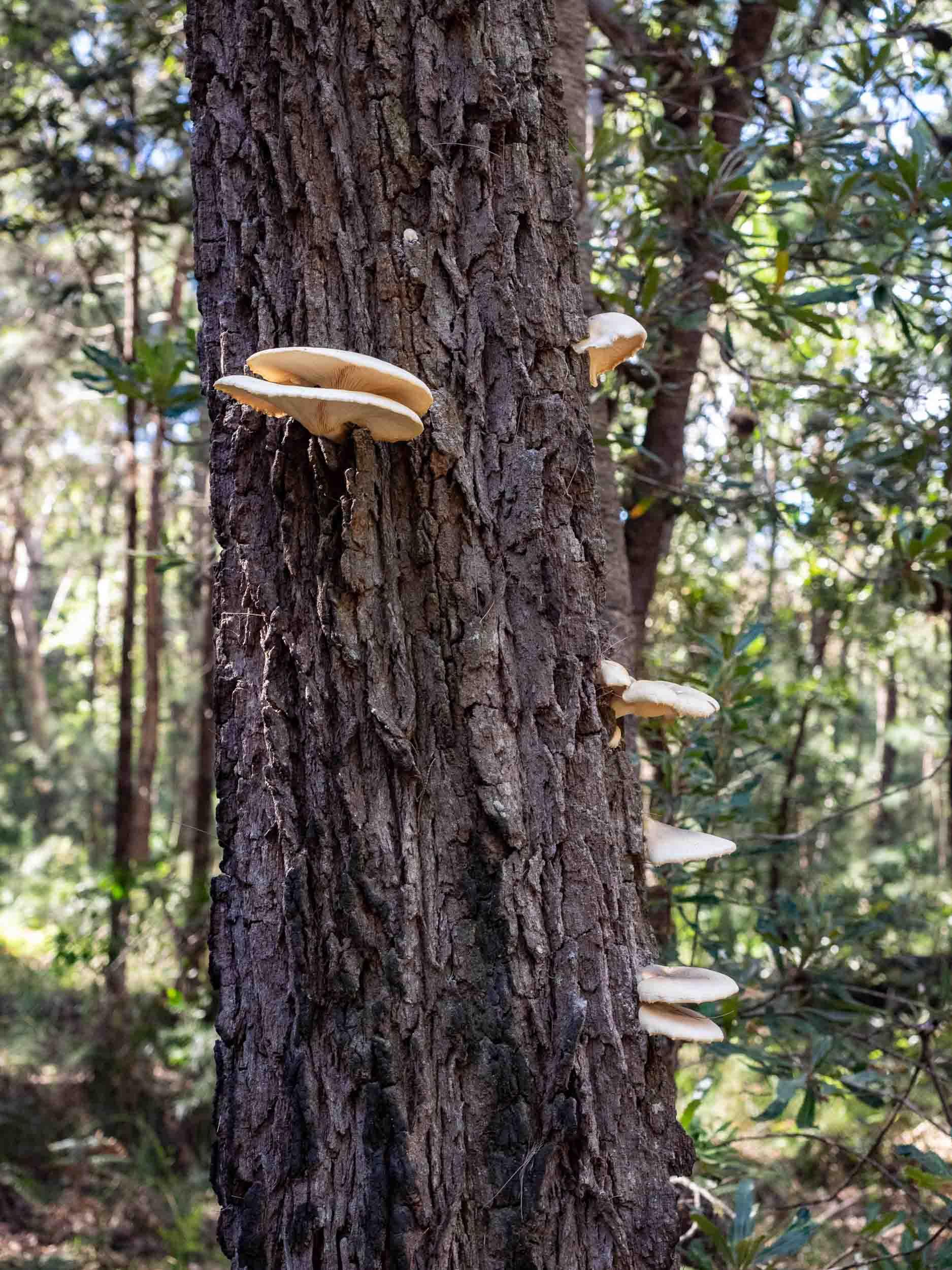 Ghost Fungus on the trunk of a dead Black She-oak tree ( Allocasuarina littoralis )