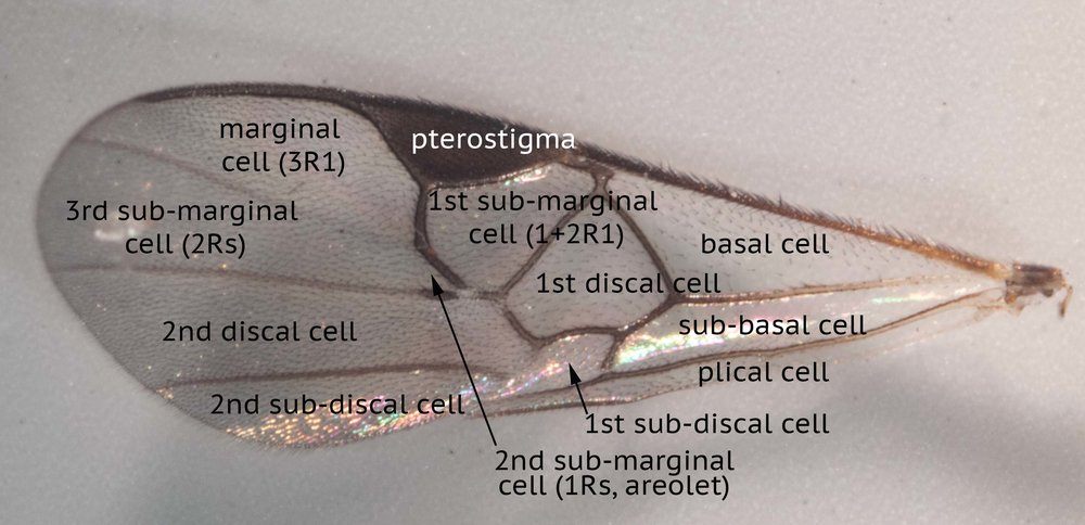 forewing