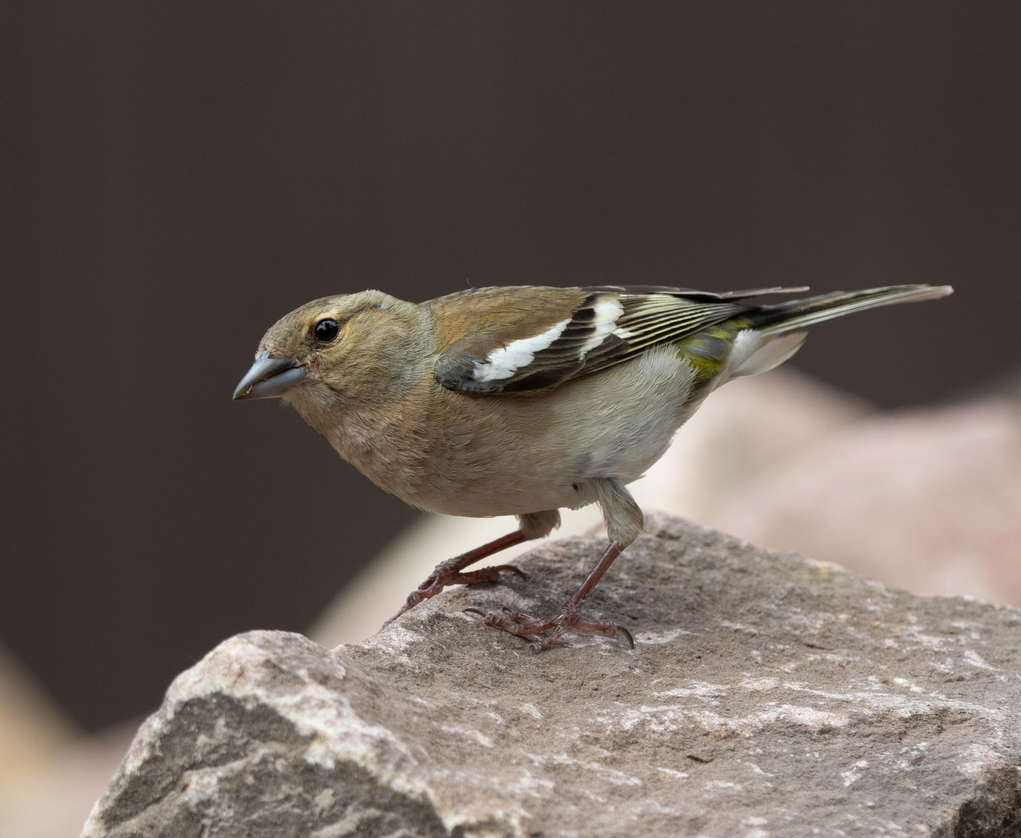 A Chaffinch searches for food among the stones