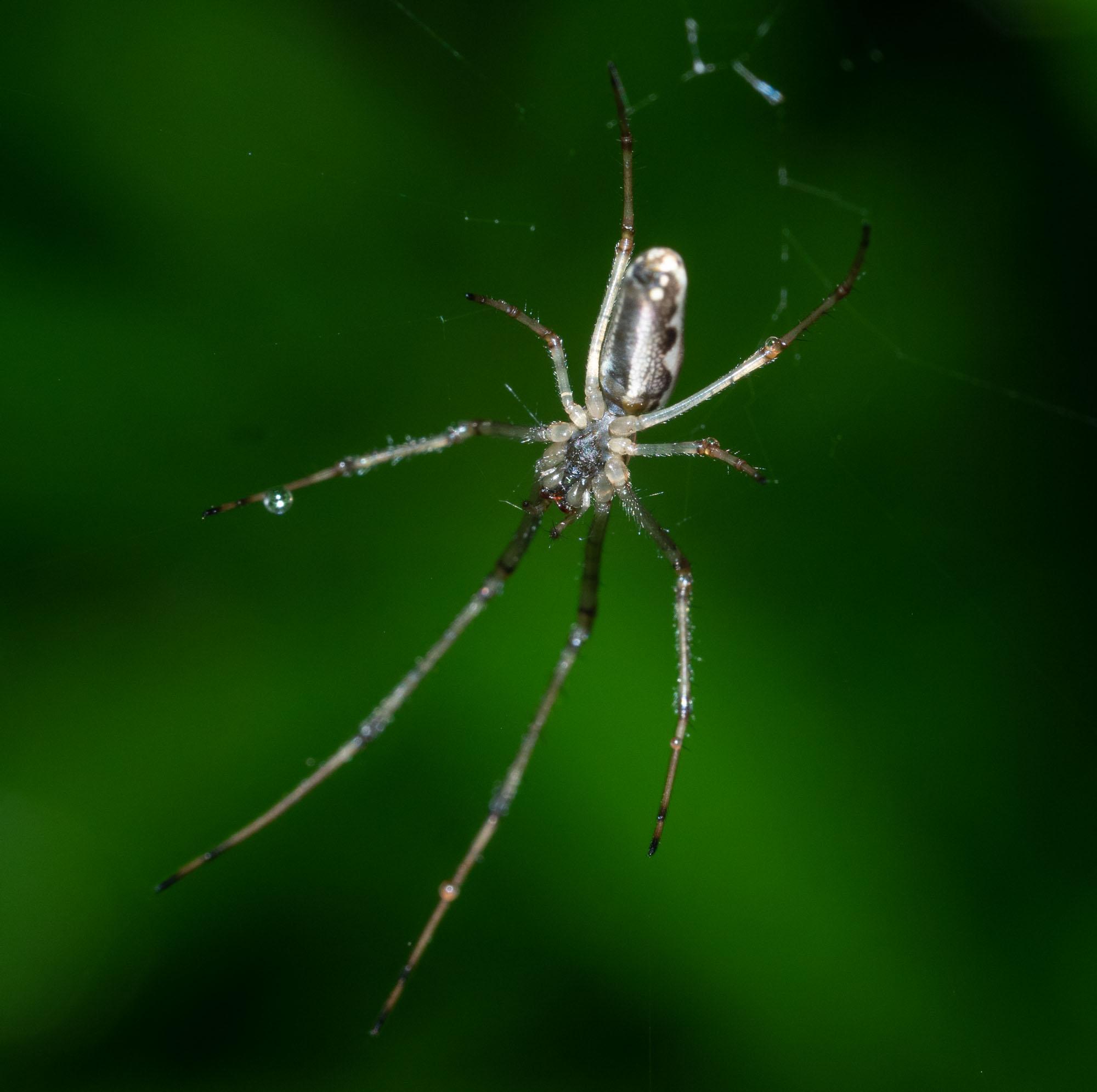 Orbweaver spiders had spun their webs
