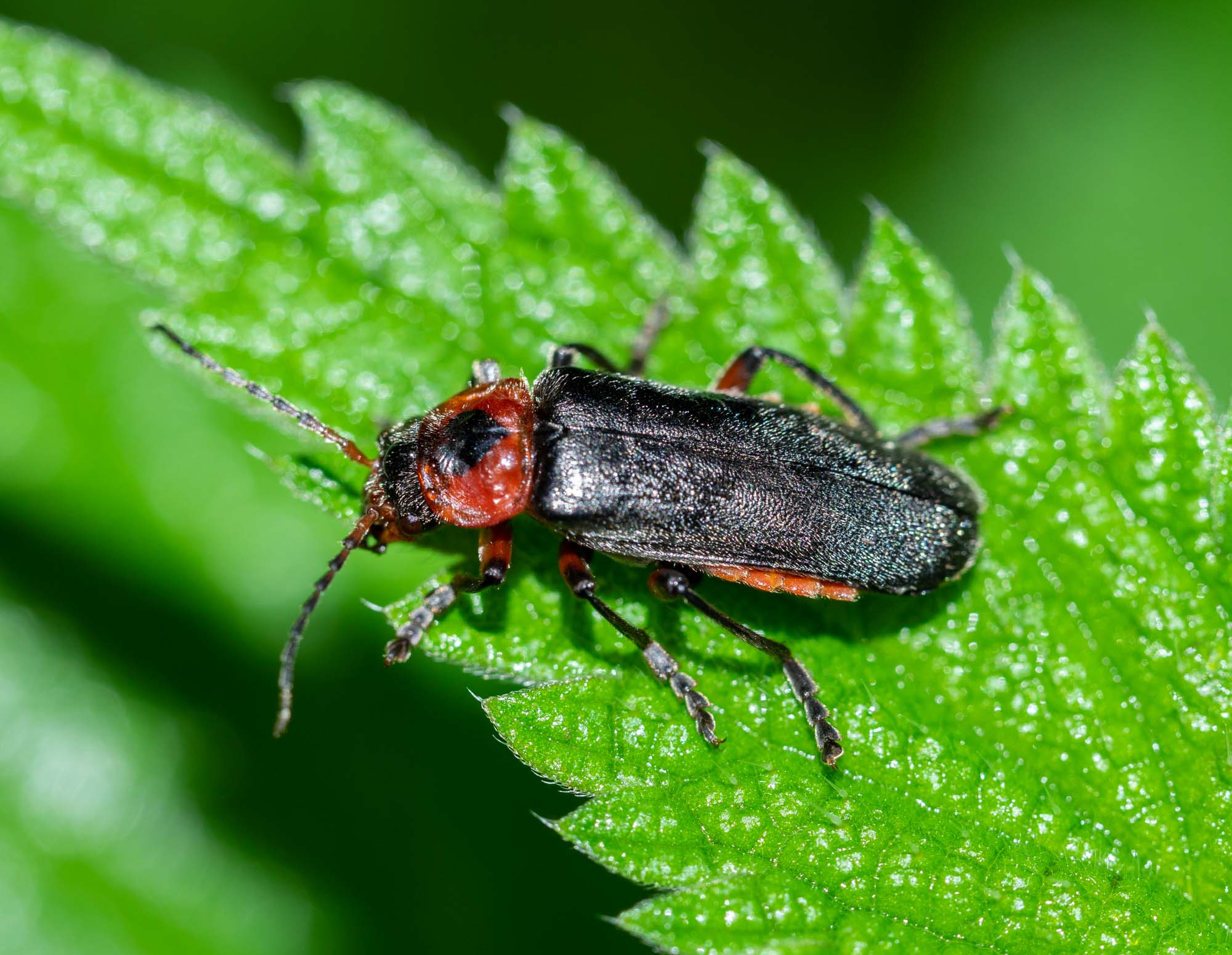 Sailor Beetle (Cantharis fusca)