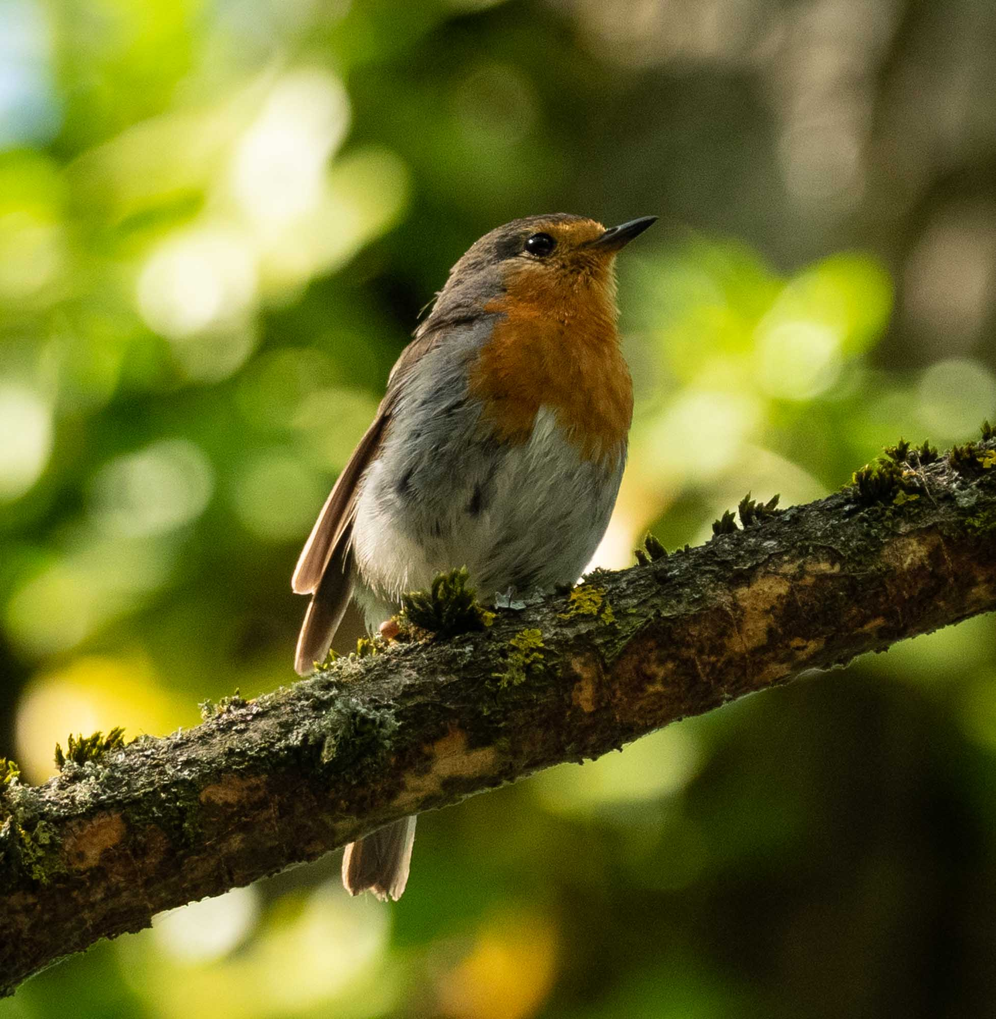 A European Robin (totally unrelated to Australian Robins)