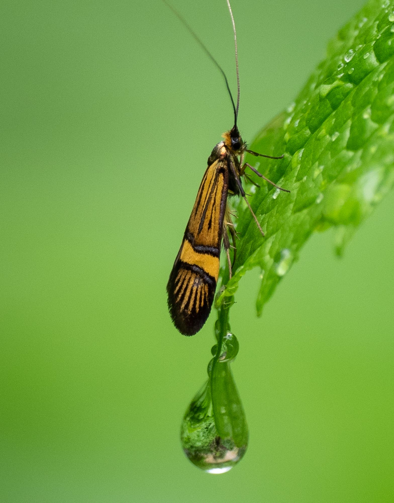 This Fairy Moth is closely related to an Australian native species (Nemophora)