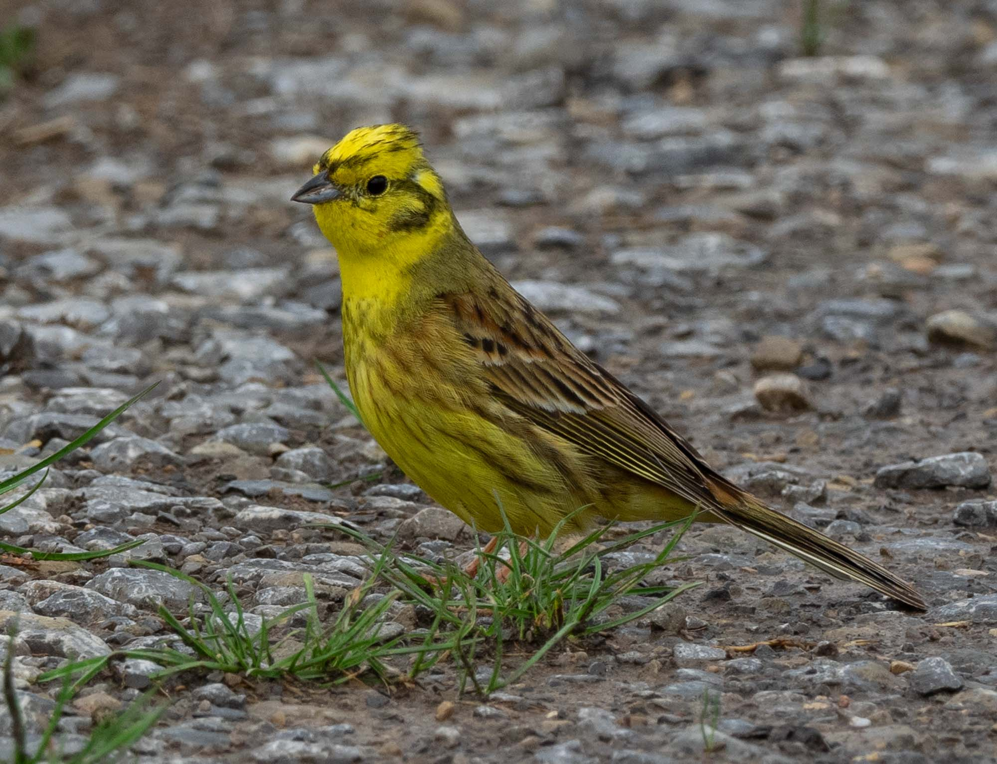 Many birds like this Yellowhammer were seen in the meadows