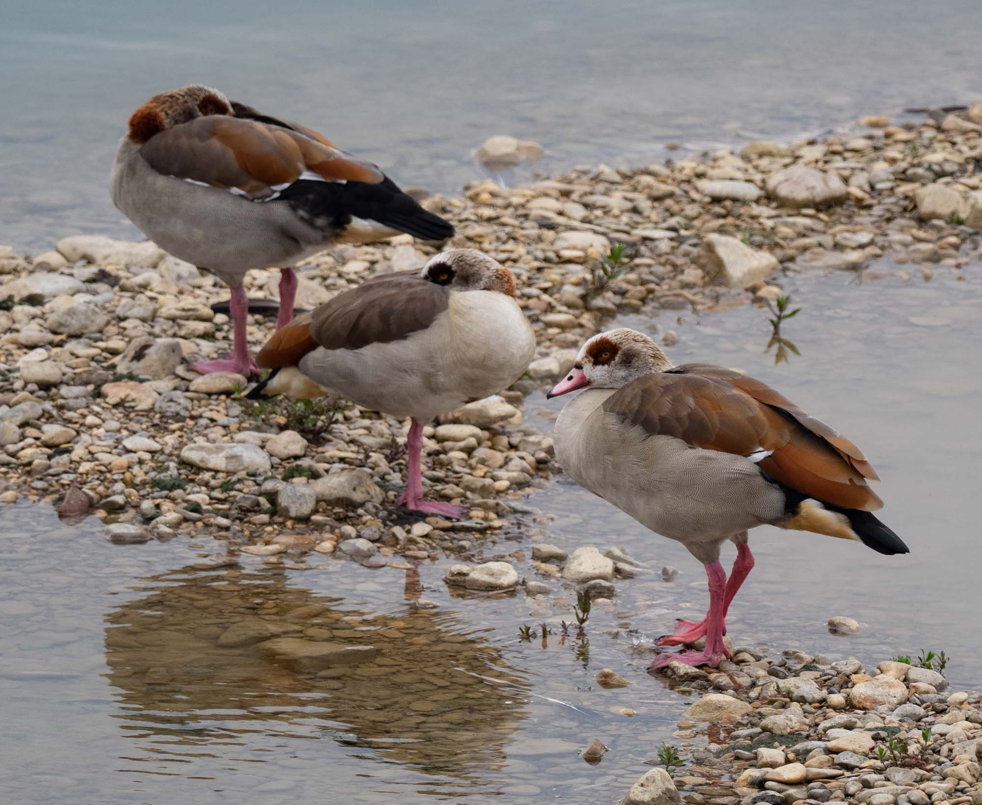 Egyptian Geese - an introduced species
