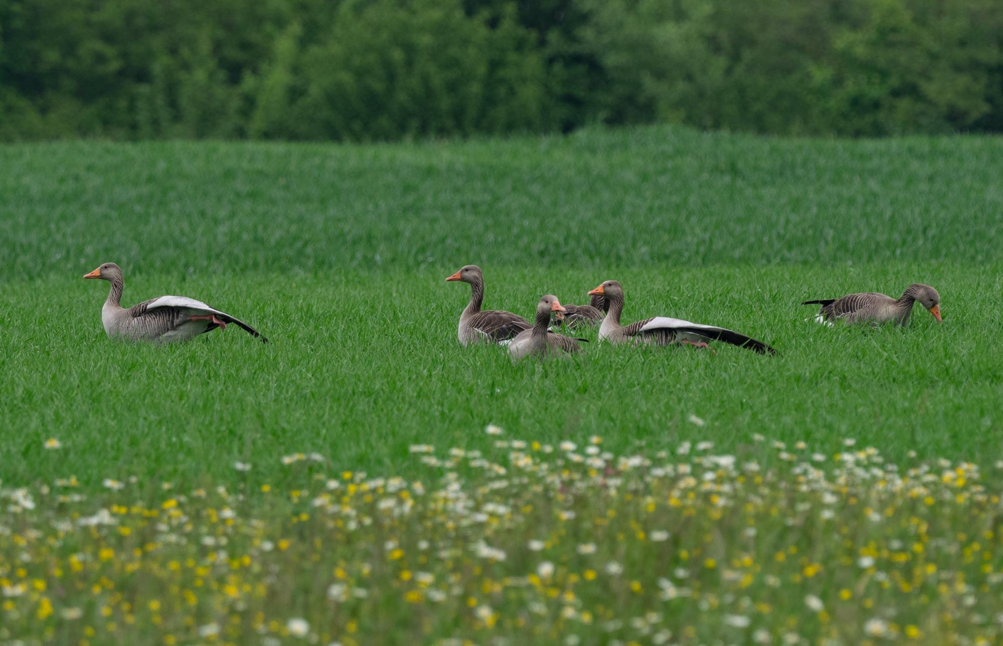 Greylag Geese feeding in nearby wheat fields