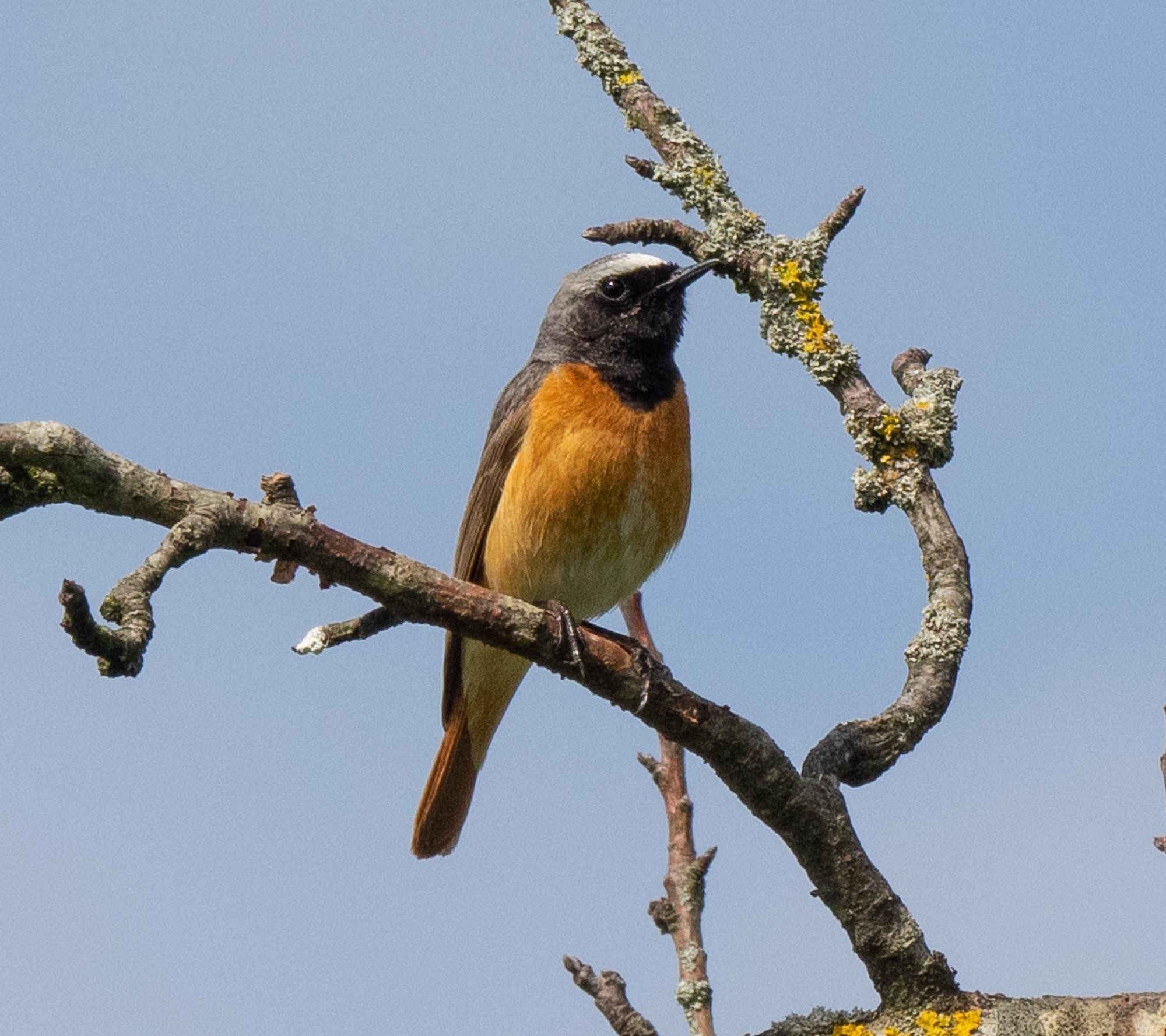 Common Redstart (male)