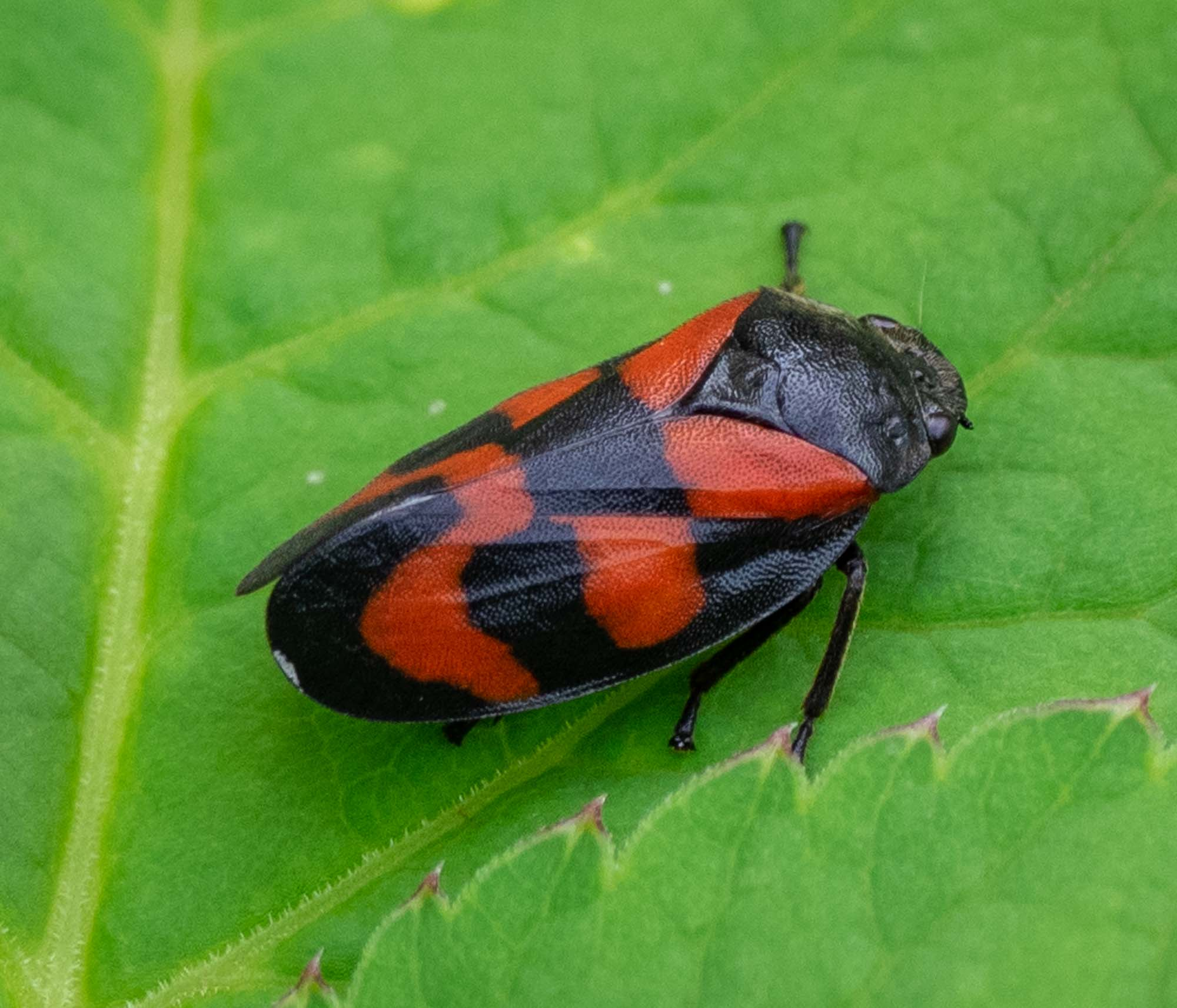 Black-and-red Froghopper (Cercopis vulnerata)
