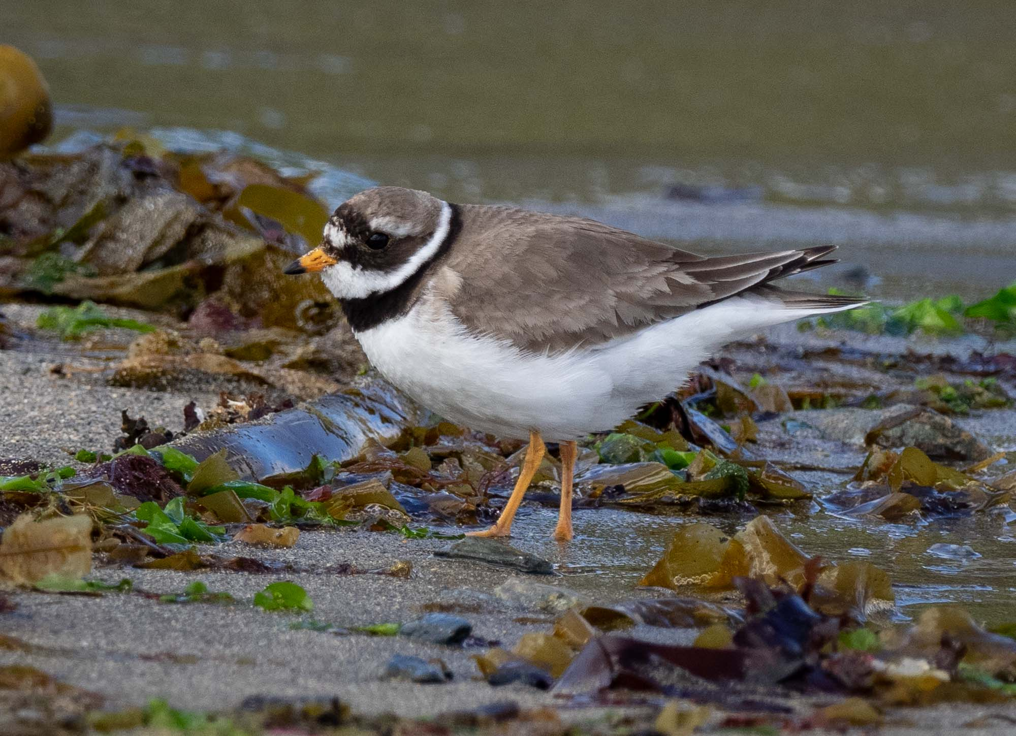 Ringed Plover (breeding plumage)