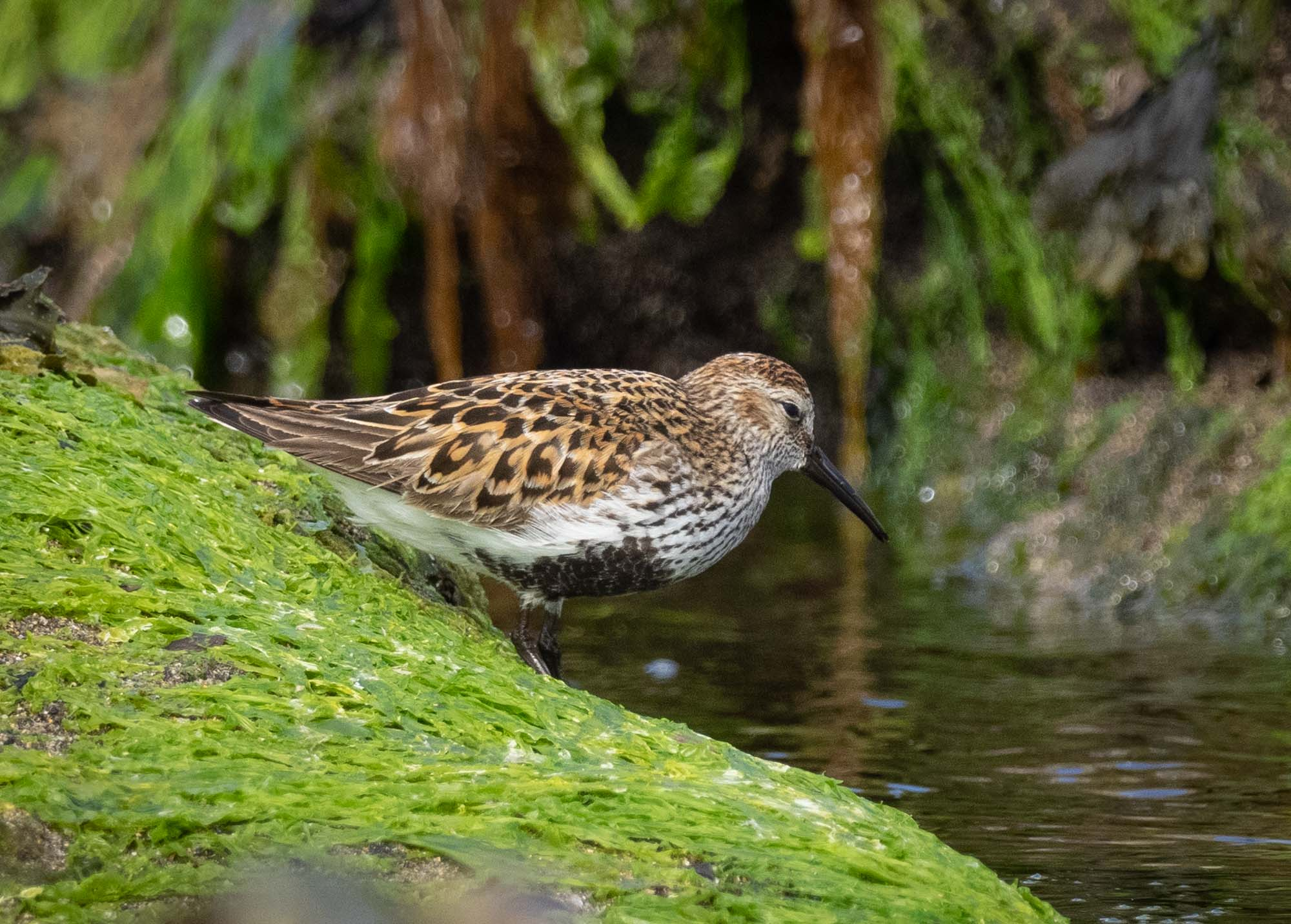 Dunlin (breeding plumage)