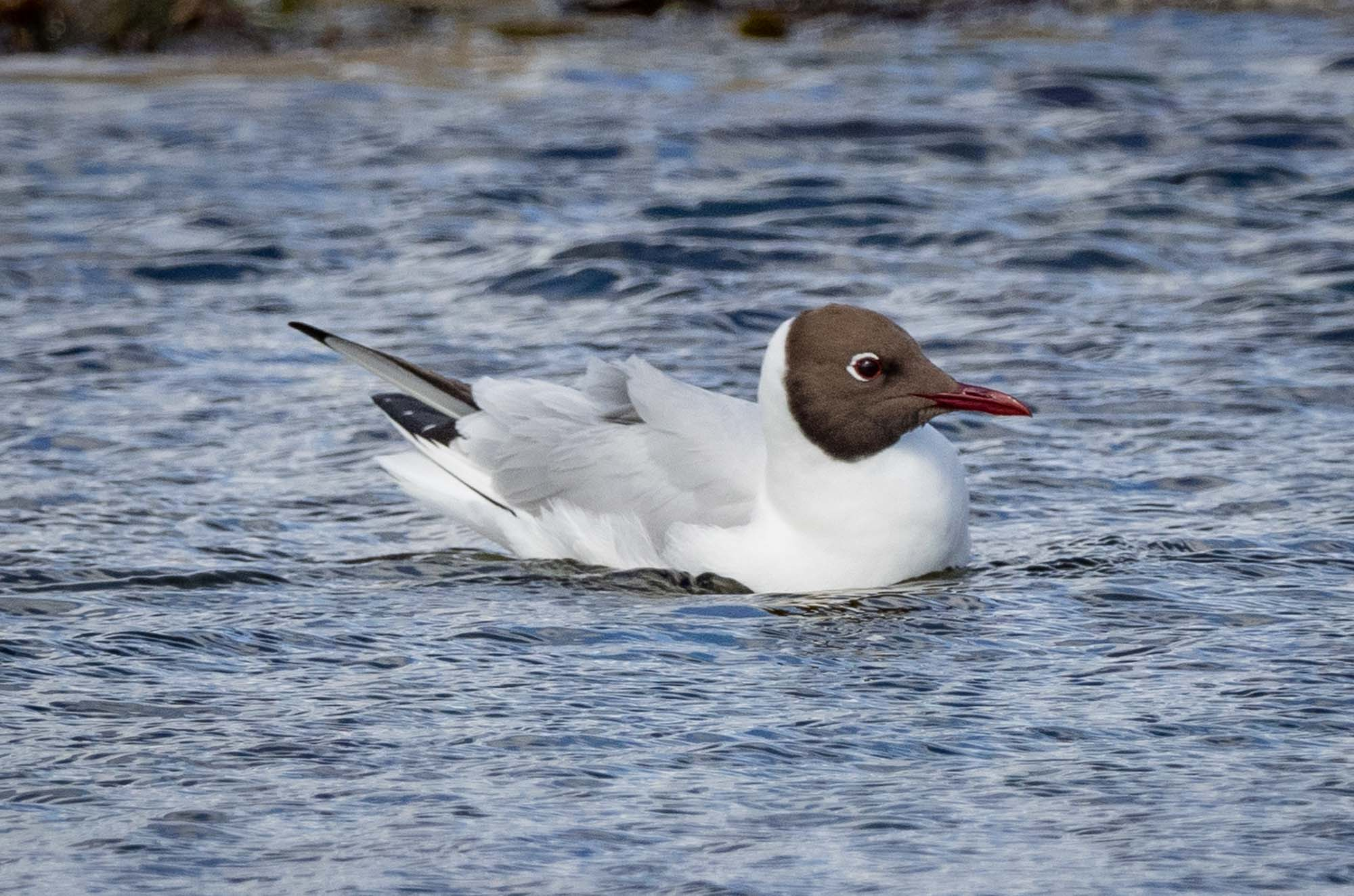 Black-headed Gull (breeding plumage)