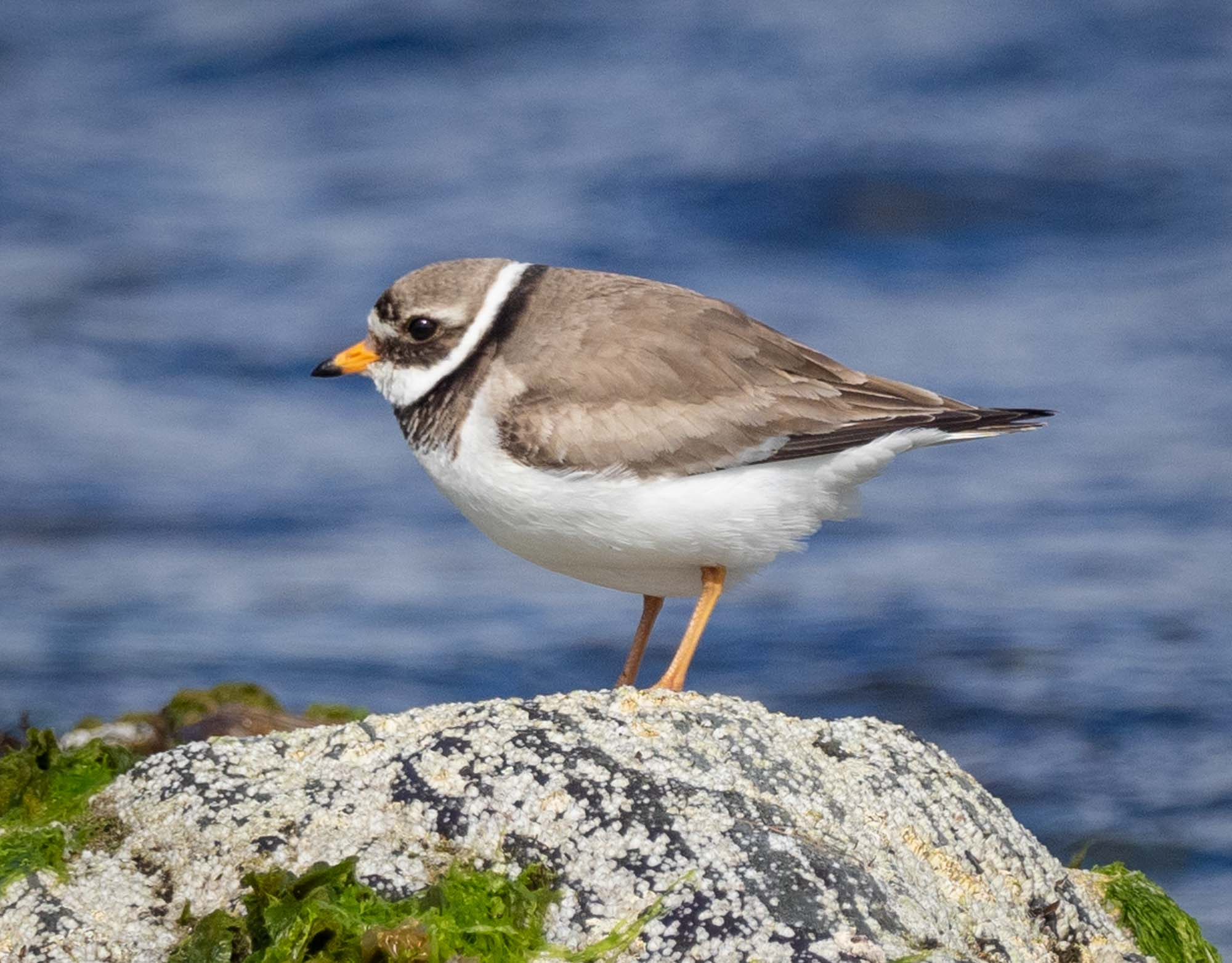 Ringed Plover (early breeding plumage)