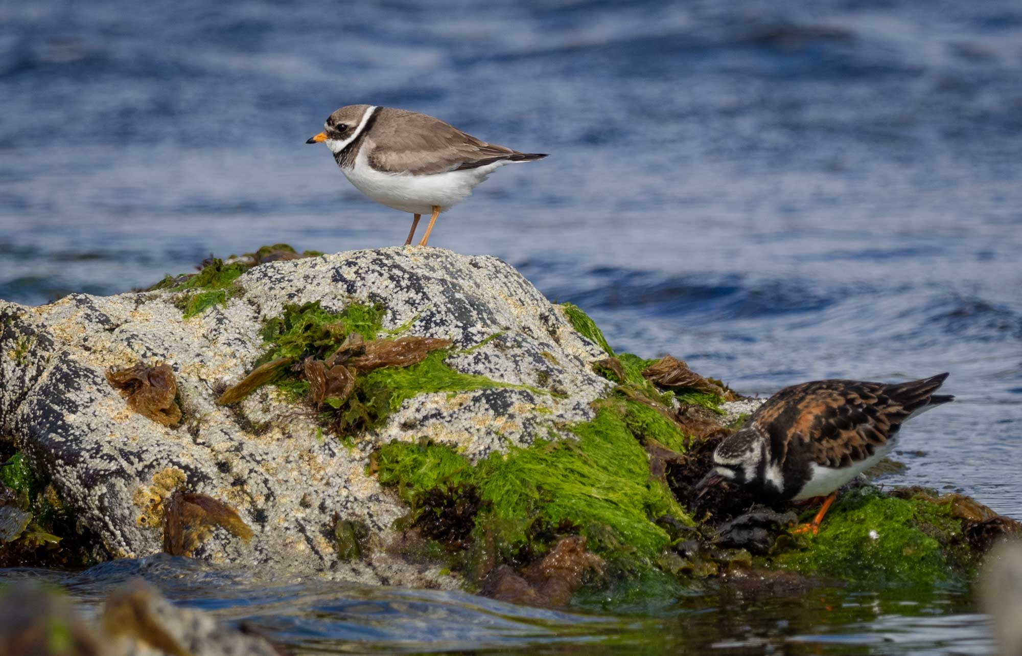 Ringed Plover & Turnstone