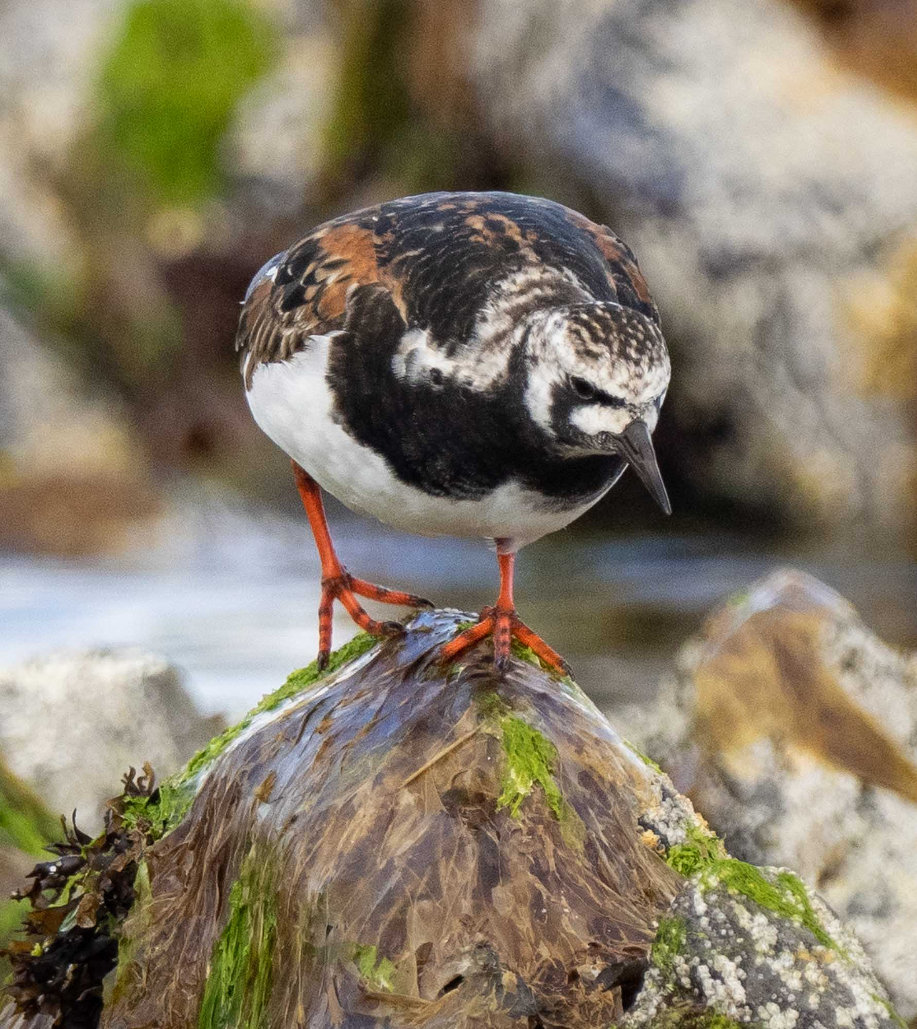 Turnstone (breeding plumage)