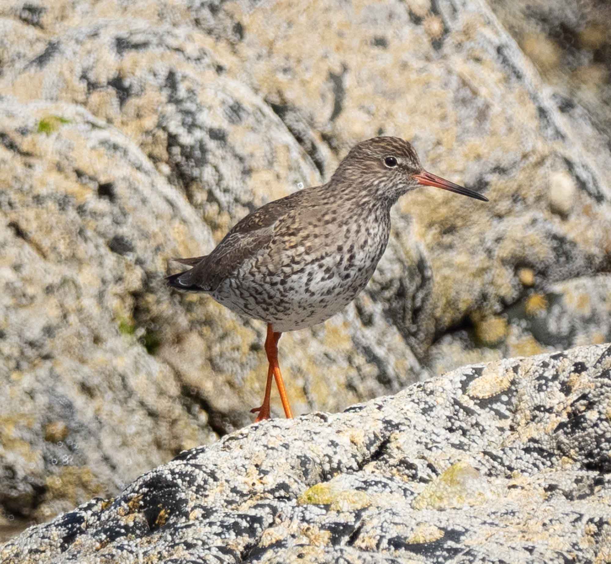 Redshank (breeding plumage)