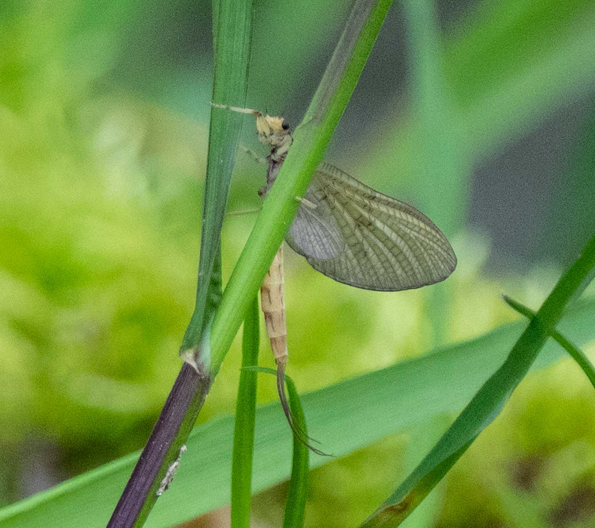 The dipper's quarry - an adult mayfly