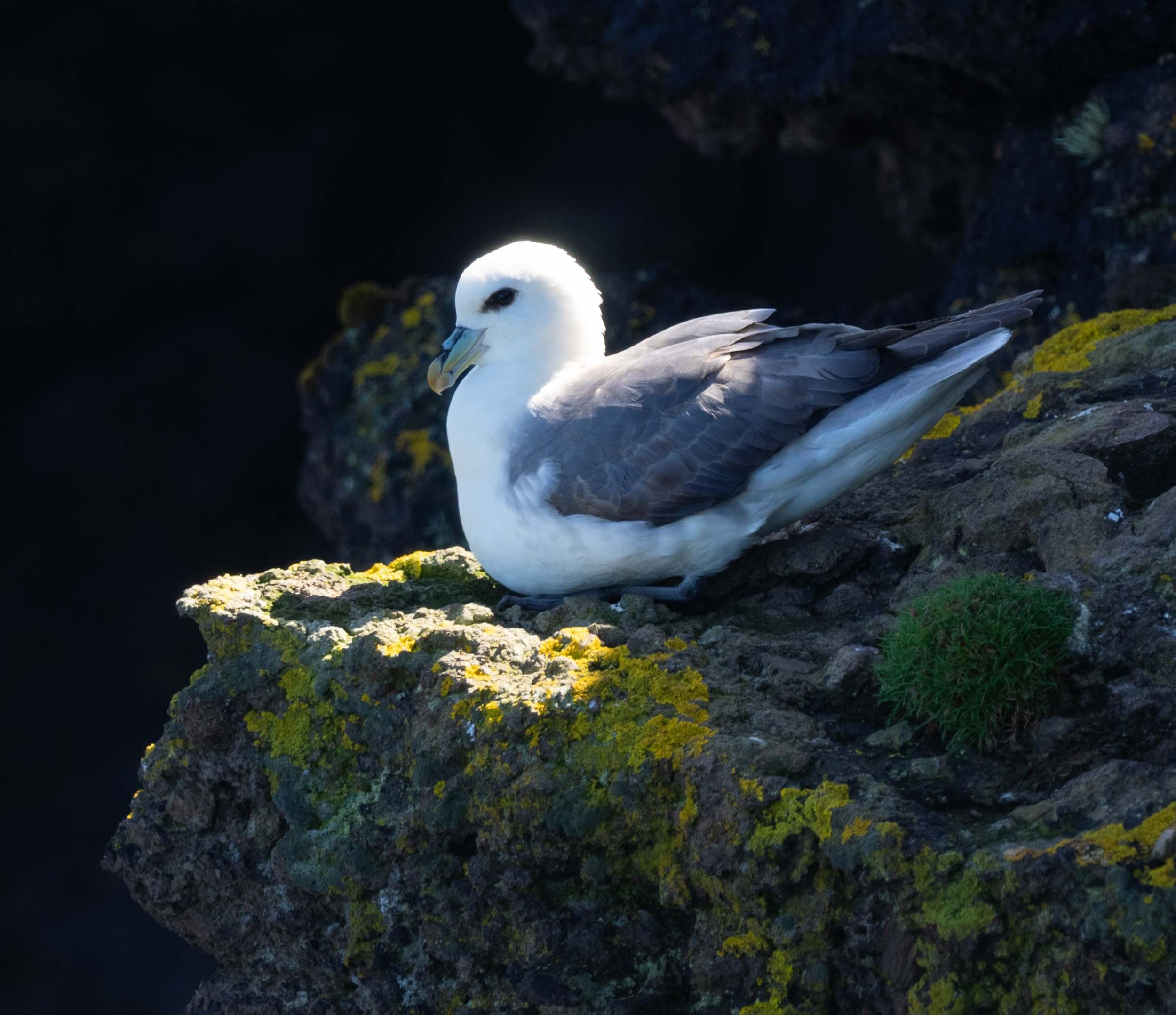 Fulmar  ( Mallie  in Shetland) –  Fulmarus glacialis