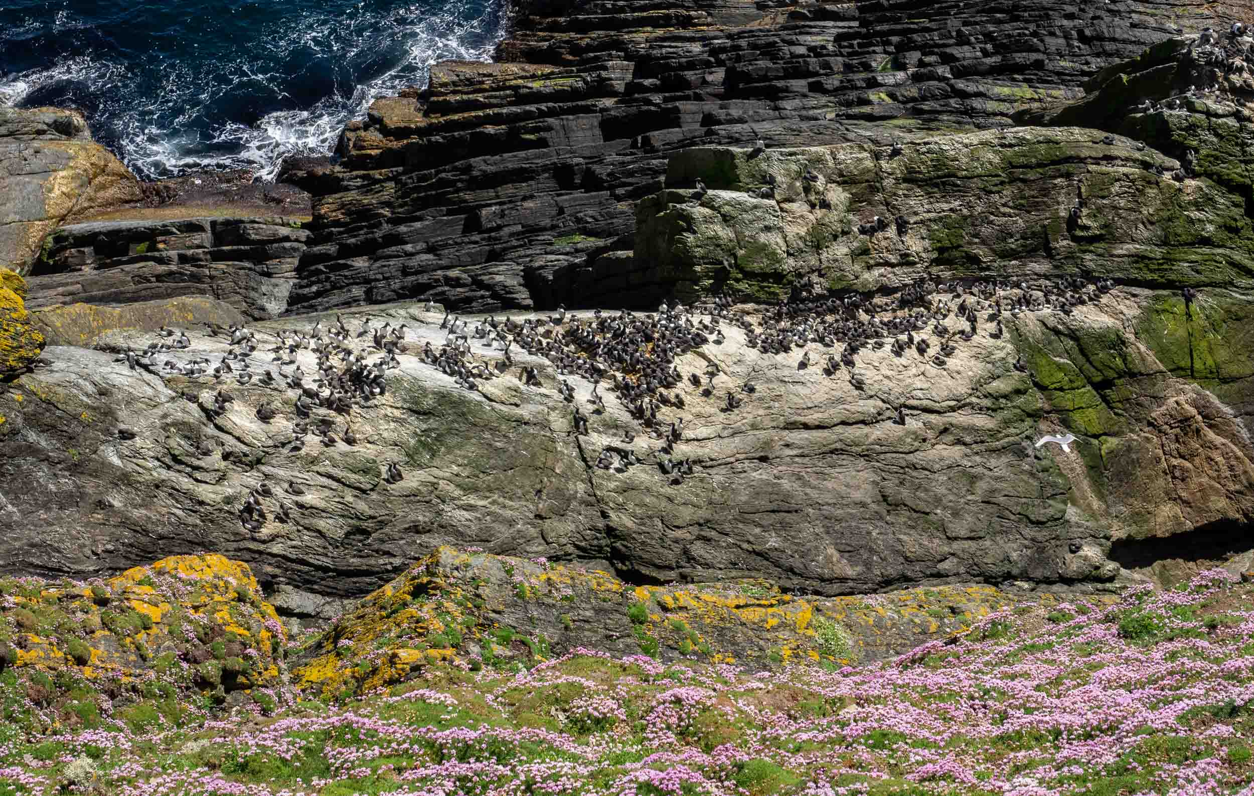 Looking over the edge of the cliffs of Sumburgh Head, to the guillemot colony carpeting the rocks.   Common Guillemots  ( Longwi  in Shetland,  Murres  in north America) –  Uria aalge