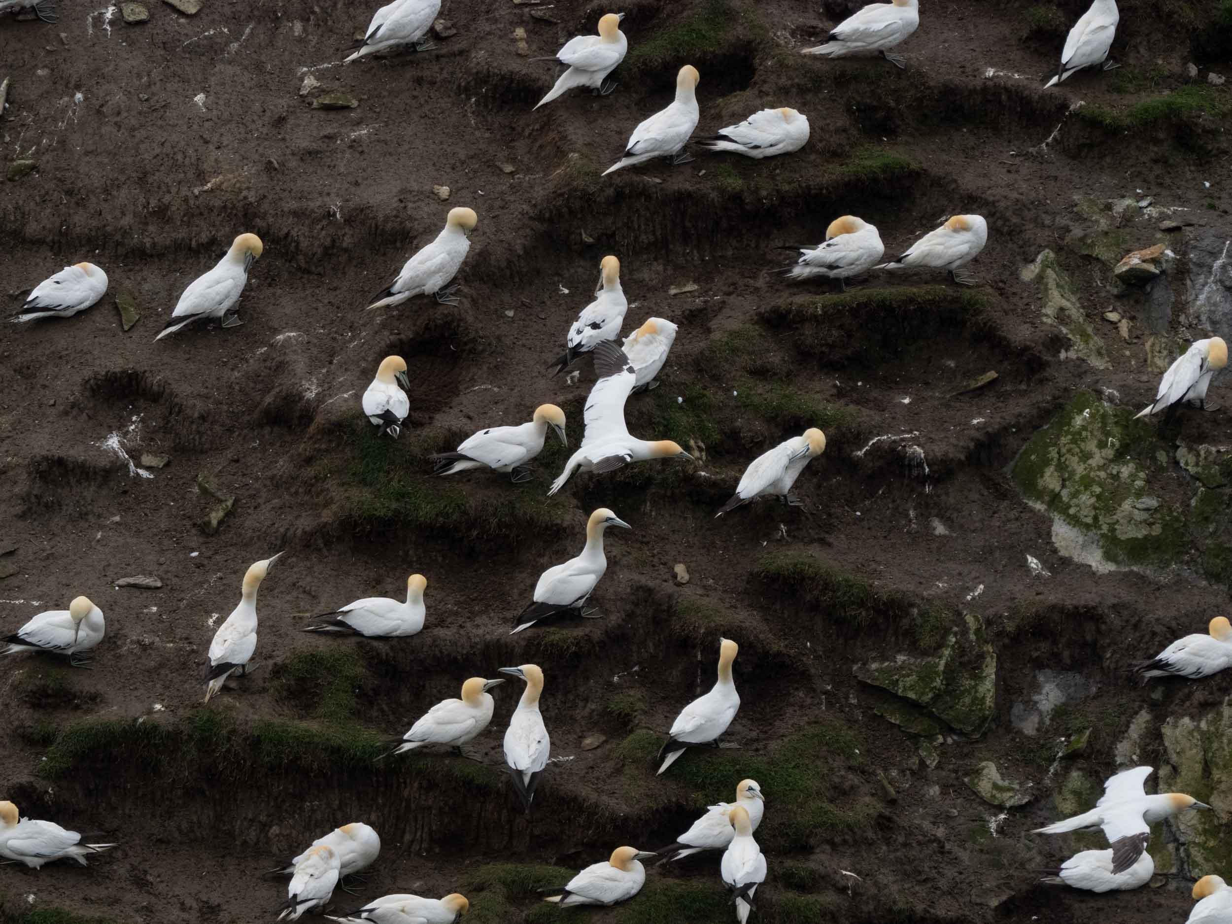 Northern Gannets  ( Solans  in Shetland) –  Morus bassanus