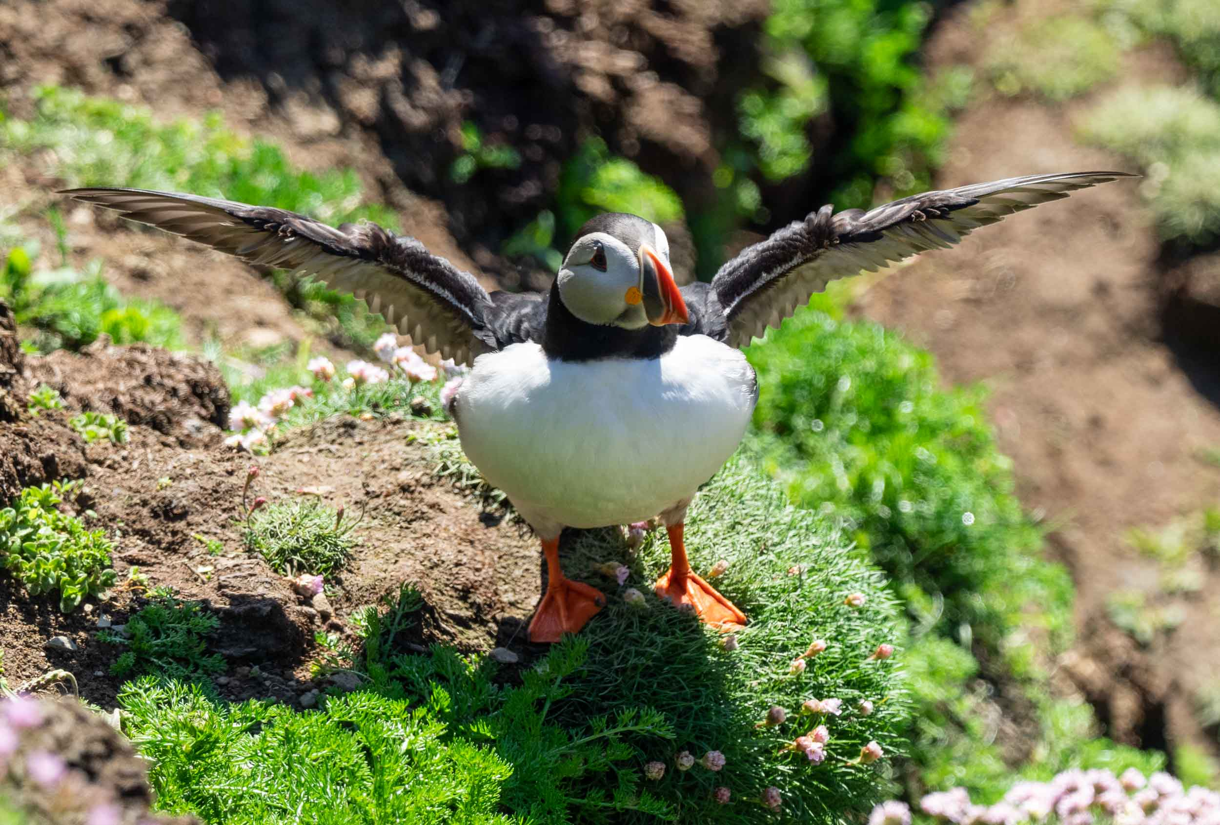 Atlantic Puffin  ( Tammy Nory  in Shetland) –  Fratercula arctica