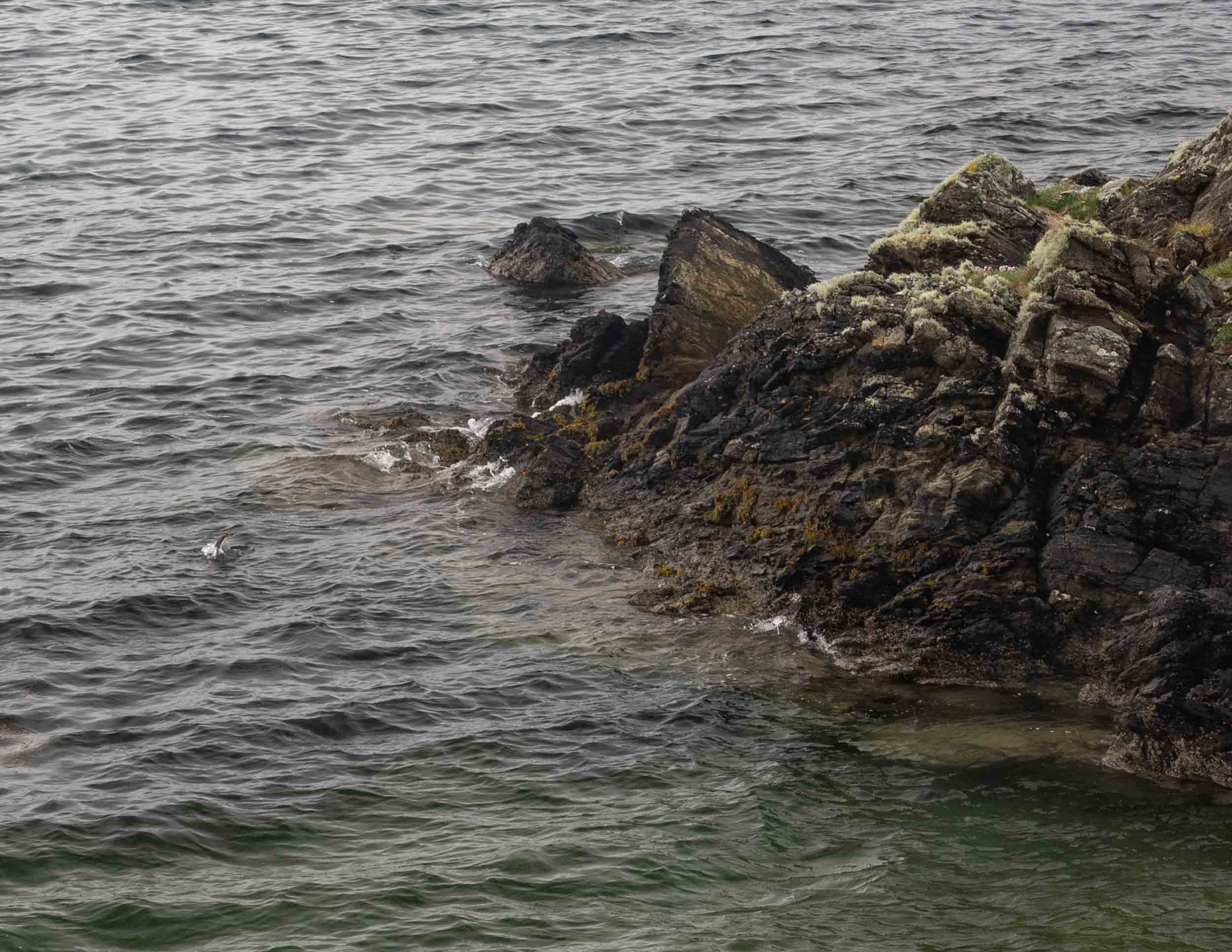 My photo of the otter diving - can you spot its tail?