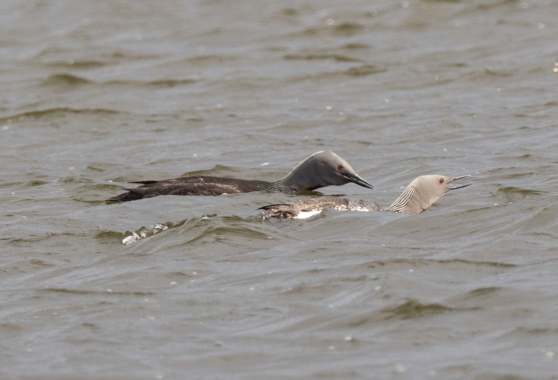 Red-throated Diver (or Loon)