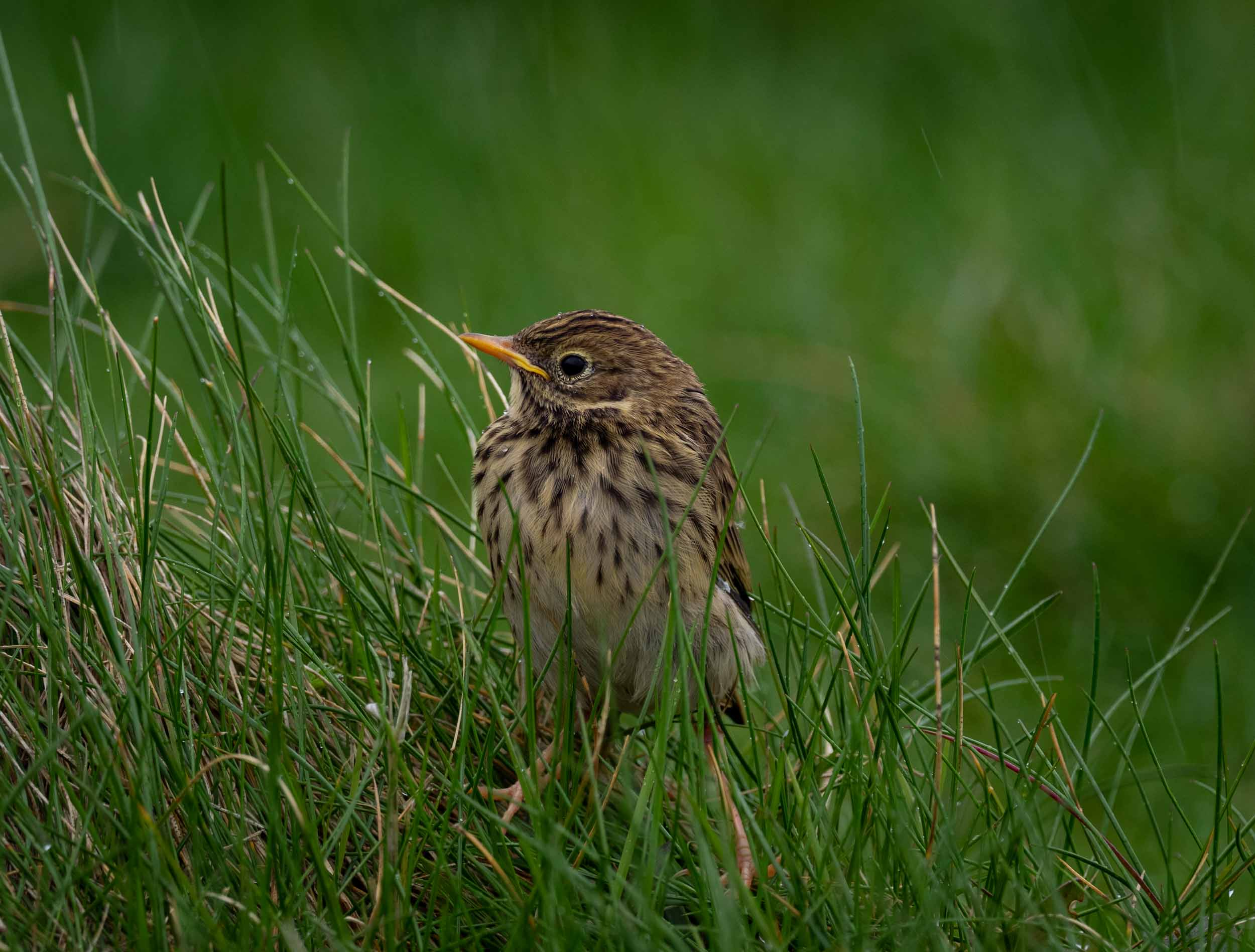 Meadow Pipit (fledgling)