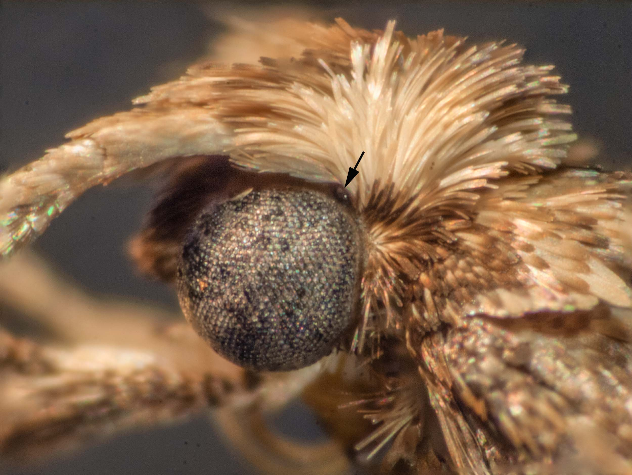Diamondback Moth  Plutella xylostella  (Family Plutellidae)