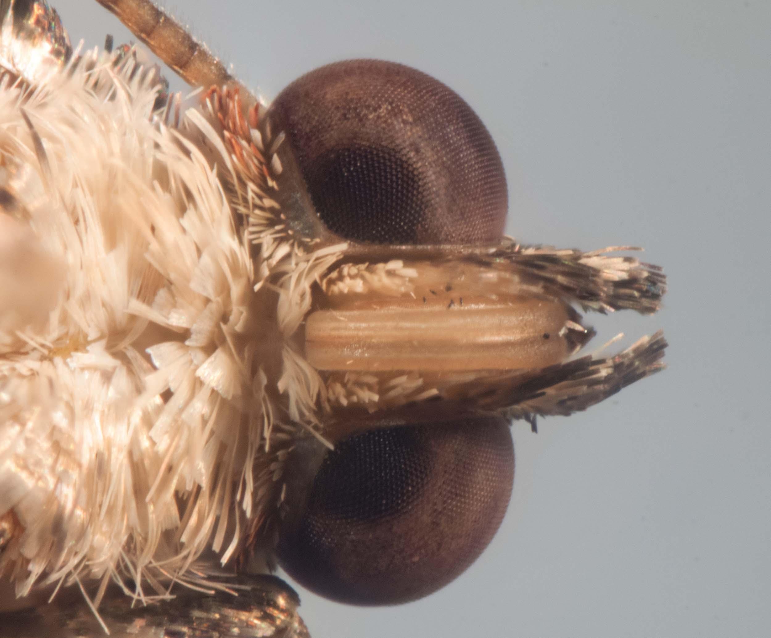 Twig Looper Moth, Family Geometridae