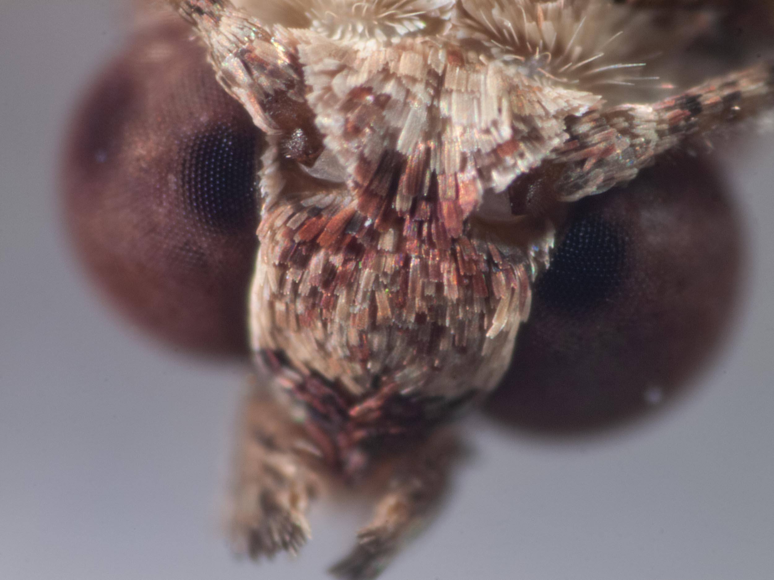 Twig looper moth (Family Geometridae)