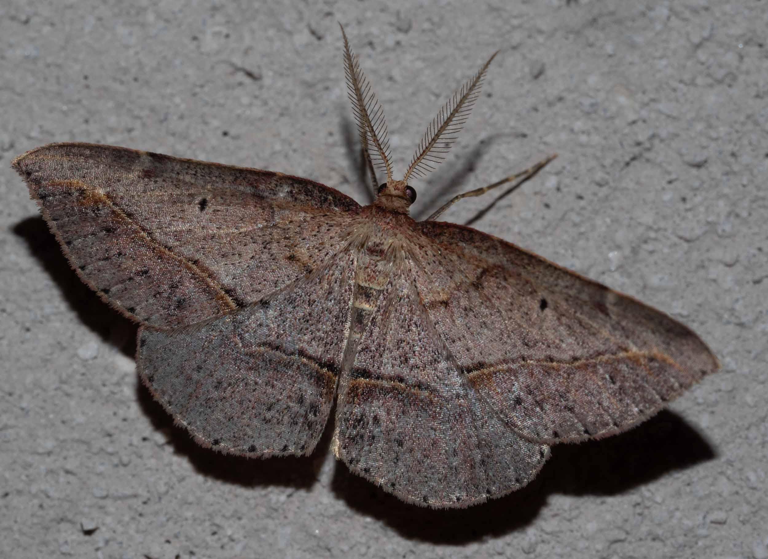 Forest Heath Moth - male