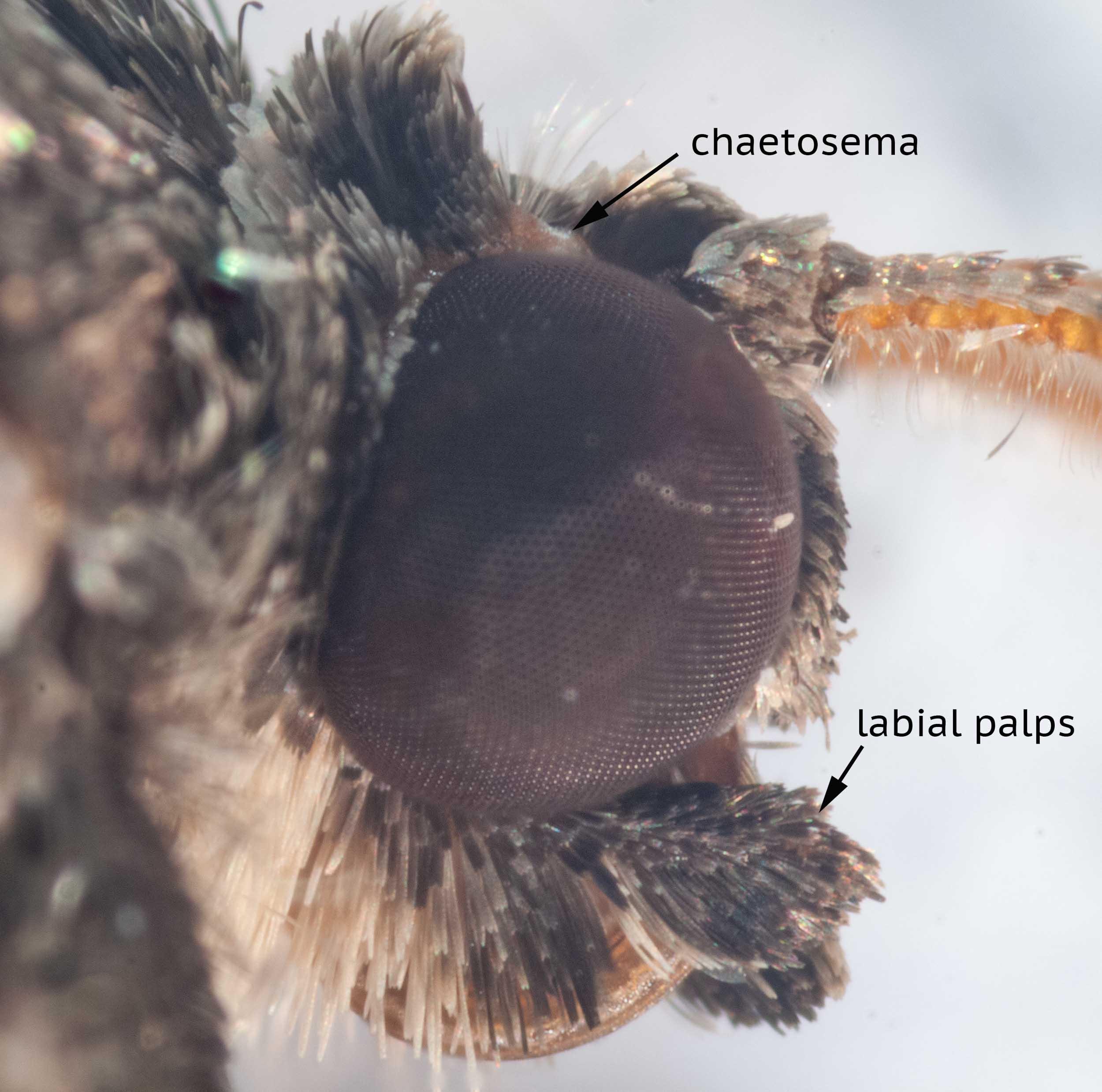 Family Geometridae