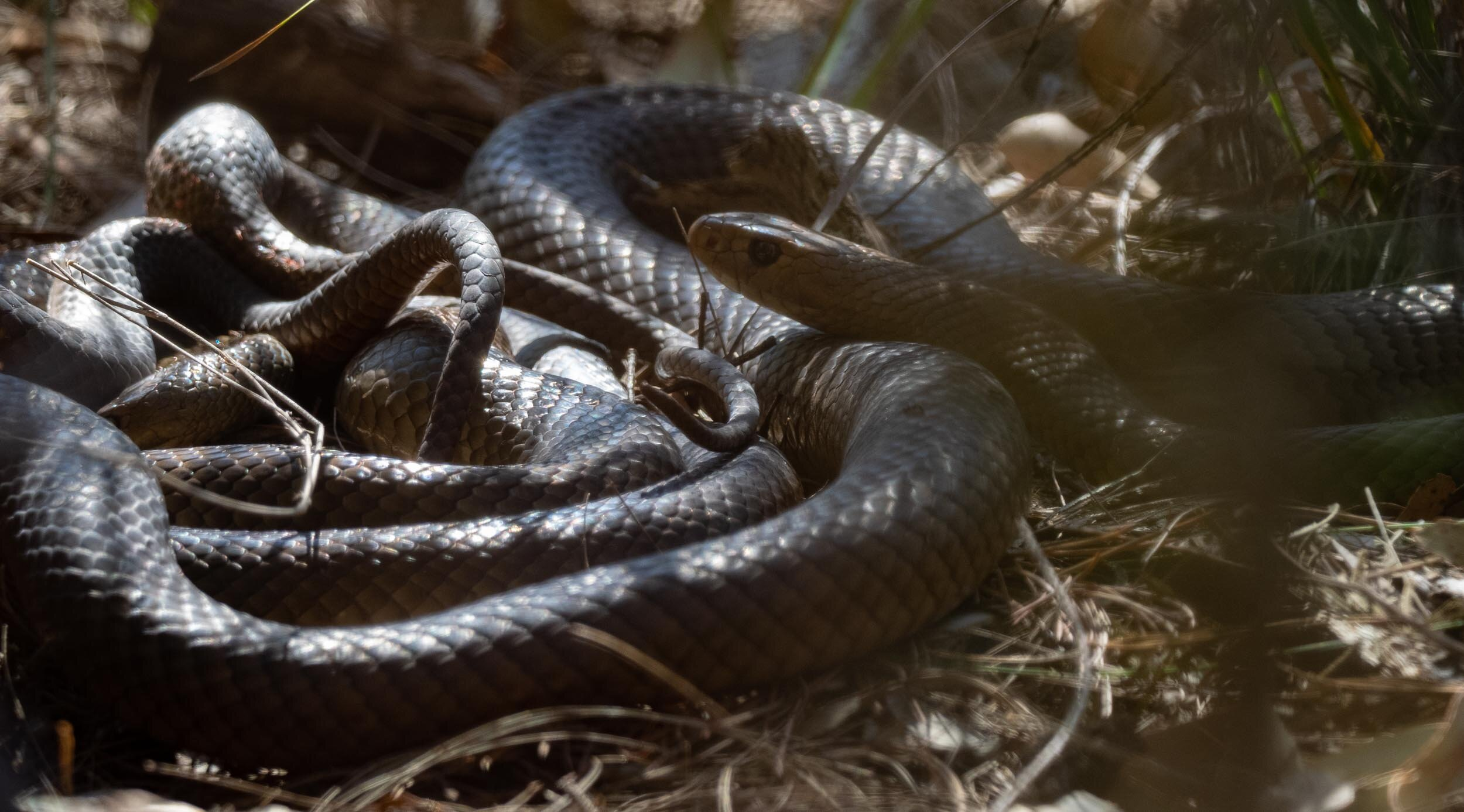 Two heads, two tails … two rather sizeable snakes