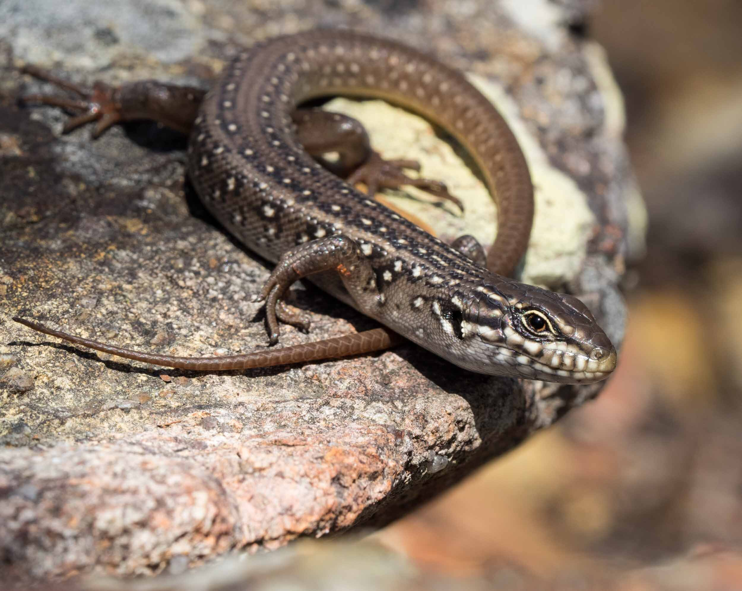 One of the skinks regularly sighted living in the same rock pile used by the snakes. ( Liopholis whitii,  5/01/2018)