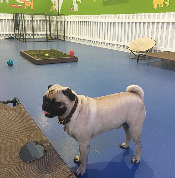 Andys-Pet-Grooming-Daycare-Center-Pug-Dog.jpg
