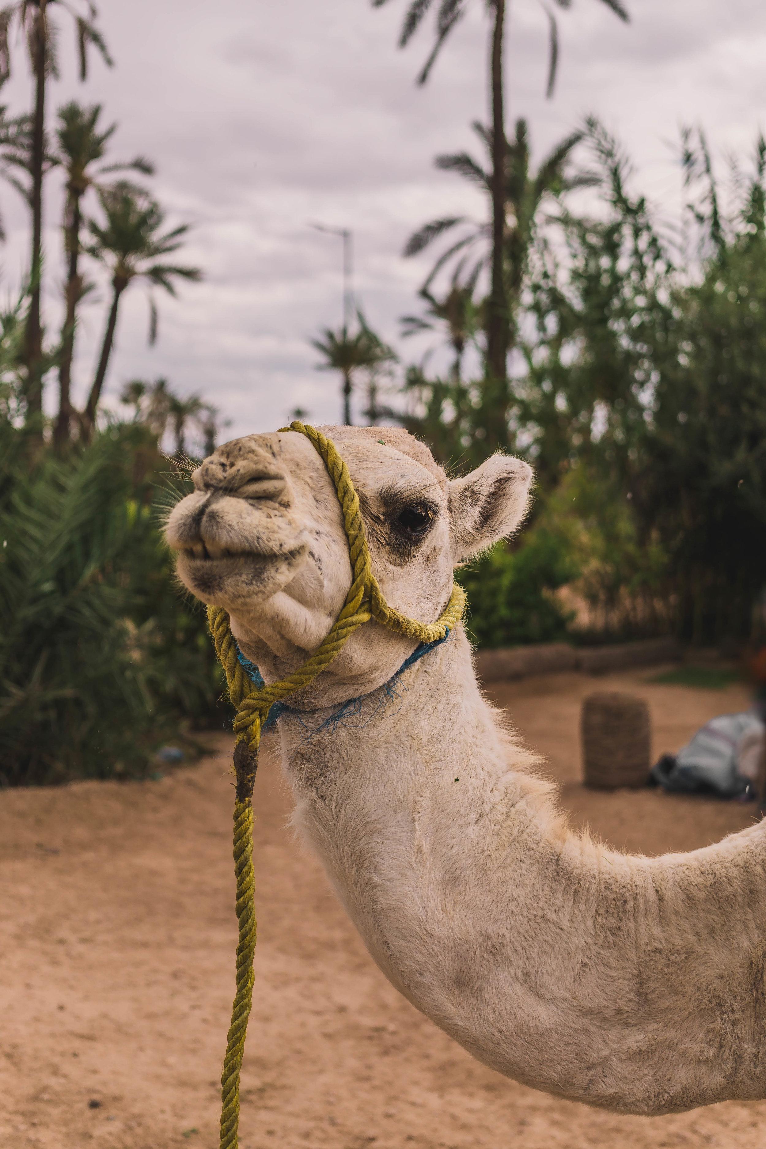 Young camel, Marrakech
